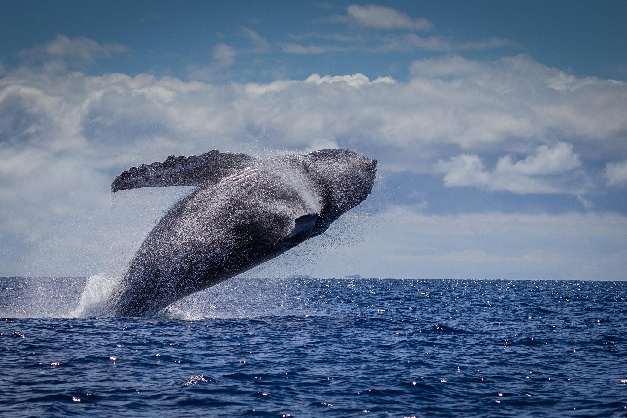 Humpback Whale Breech by Michael Wilde