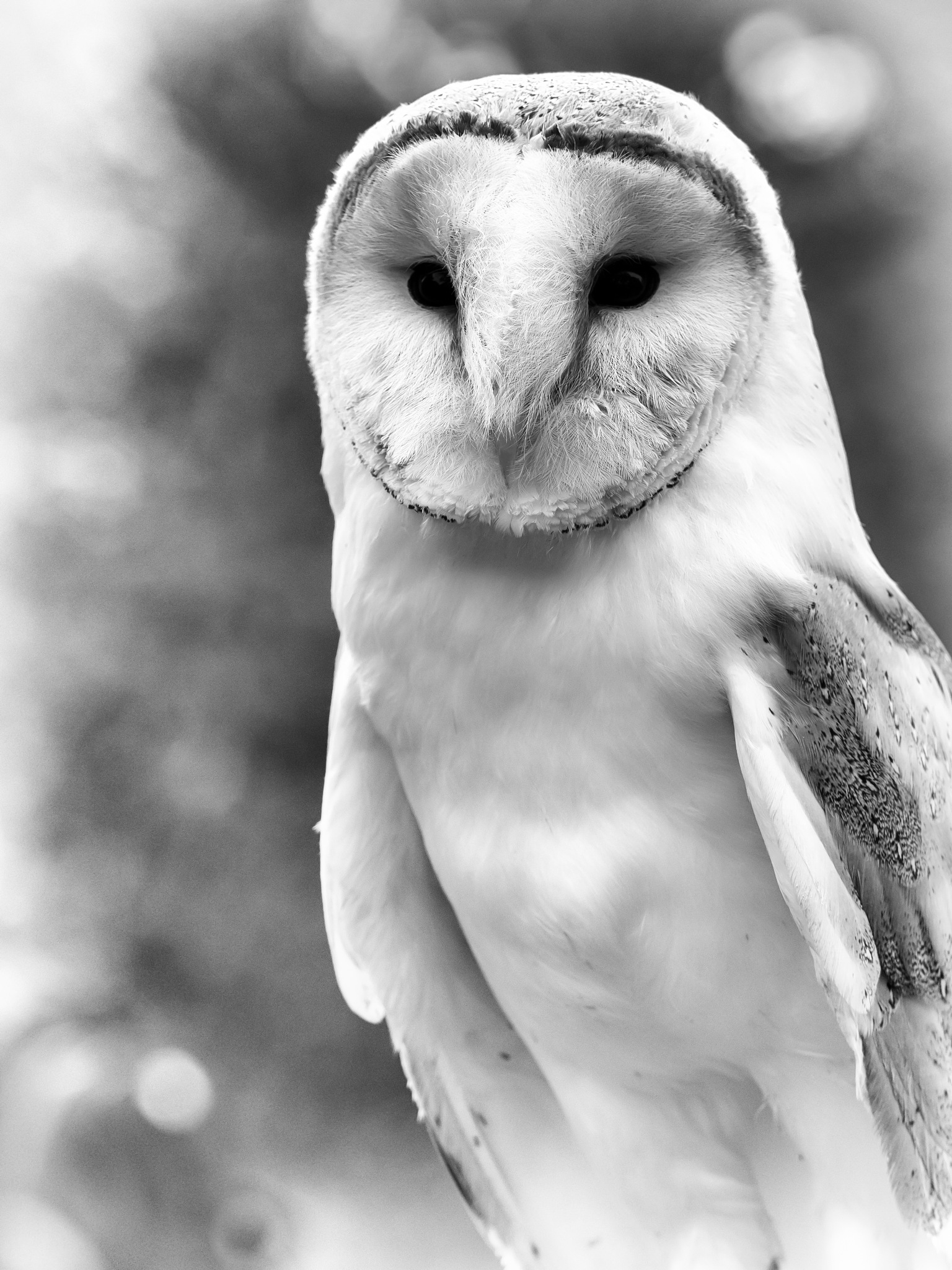 Barn Owl by Sarah Walters