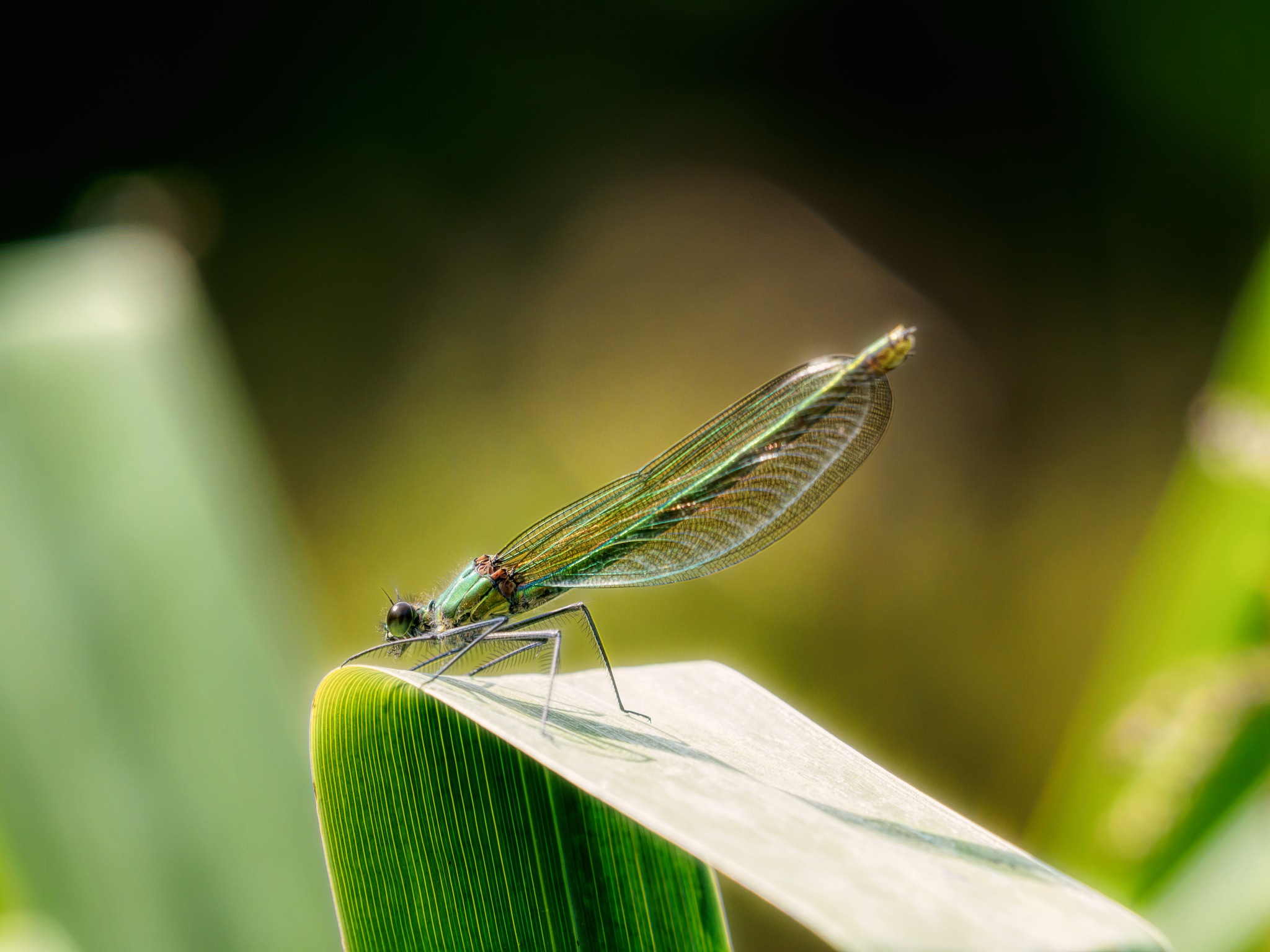 Female Banded Demoiselle by Sarah Walters