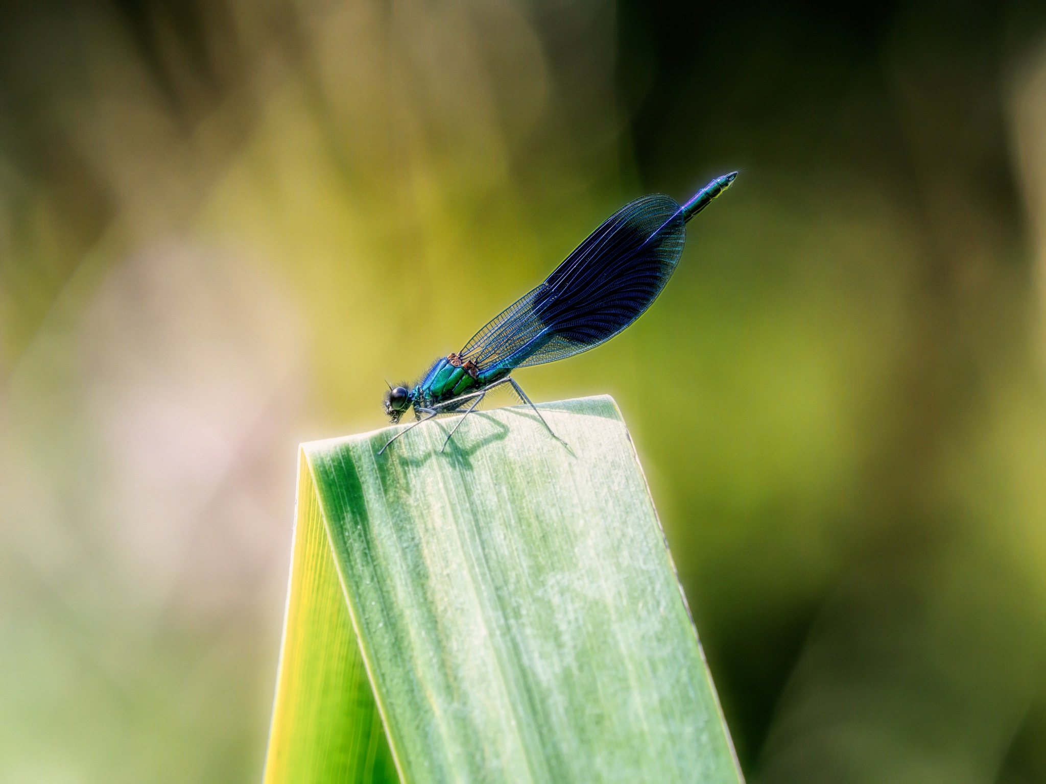 Male Banded Demoiselle by Sarah Walters