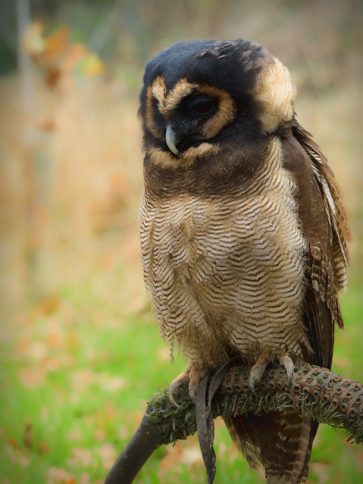 Asian brown wood owl by Sarah Walters