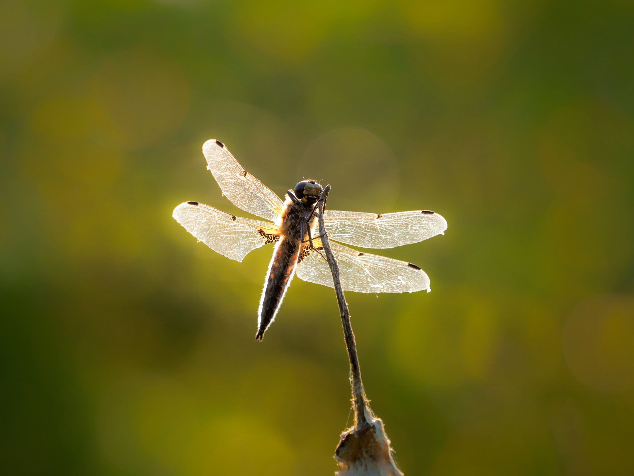 Simple dragonfly by Sarah Walters