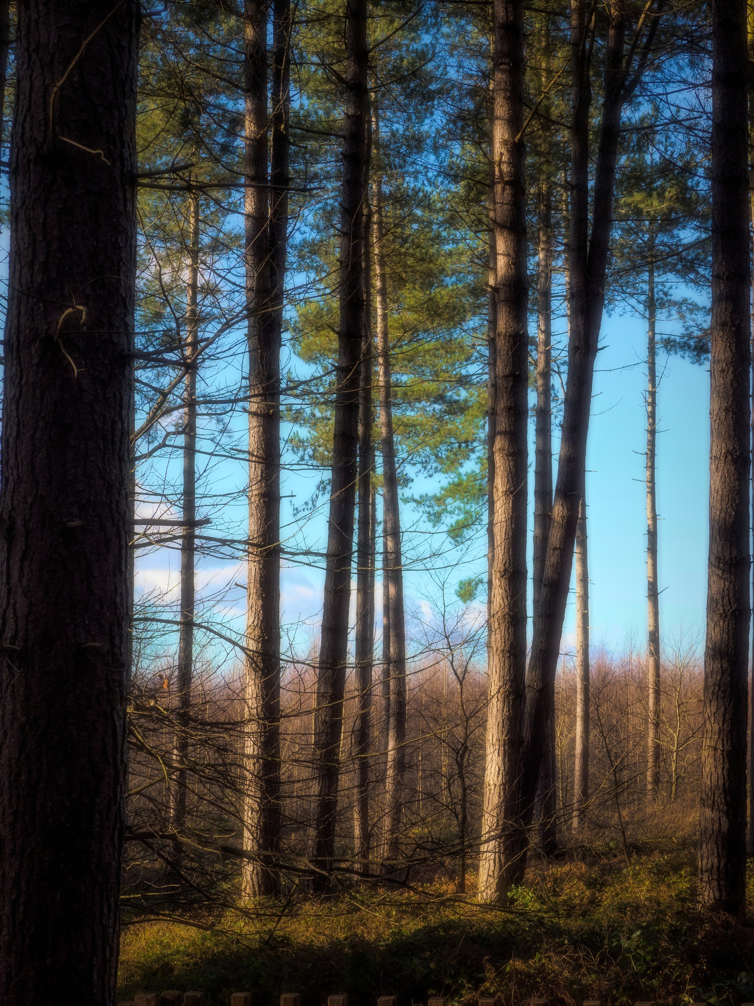 Pine Woods by Sarah Walters