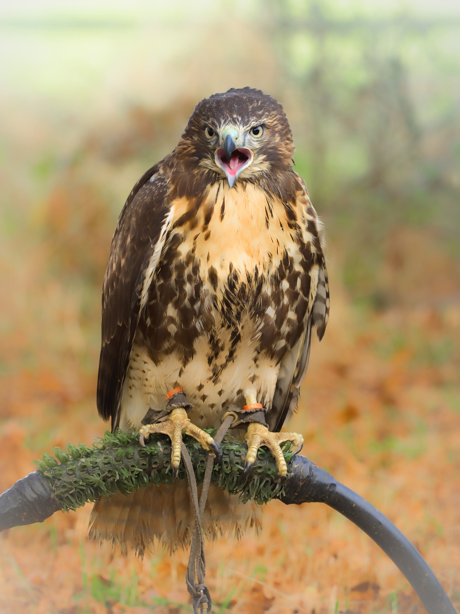 Red tailed buzzard by Sarah Walters