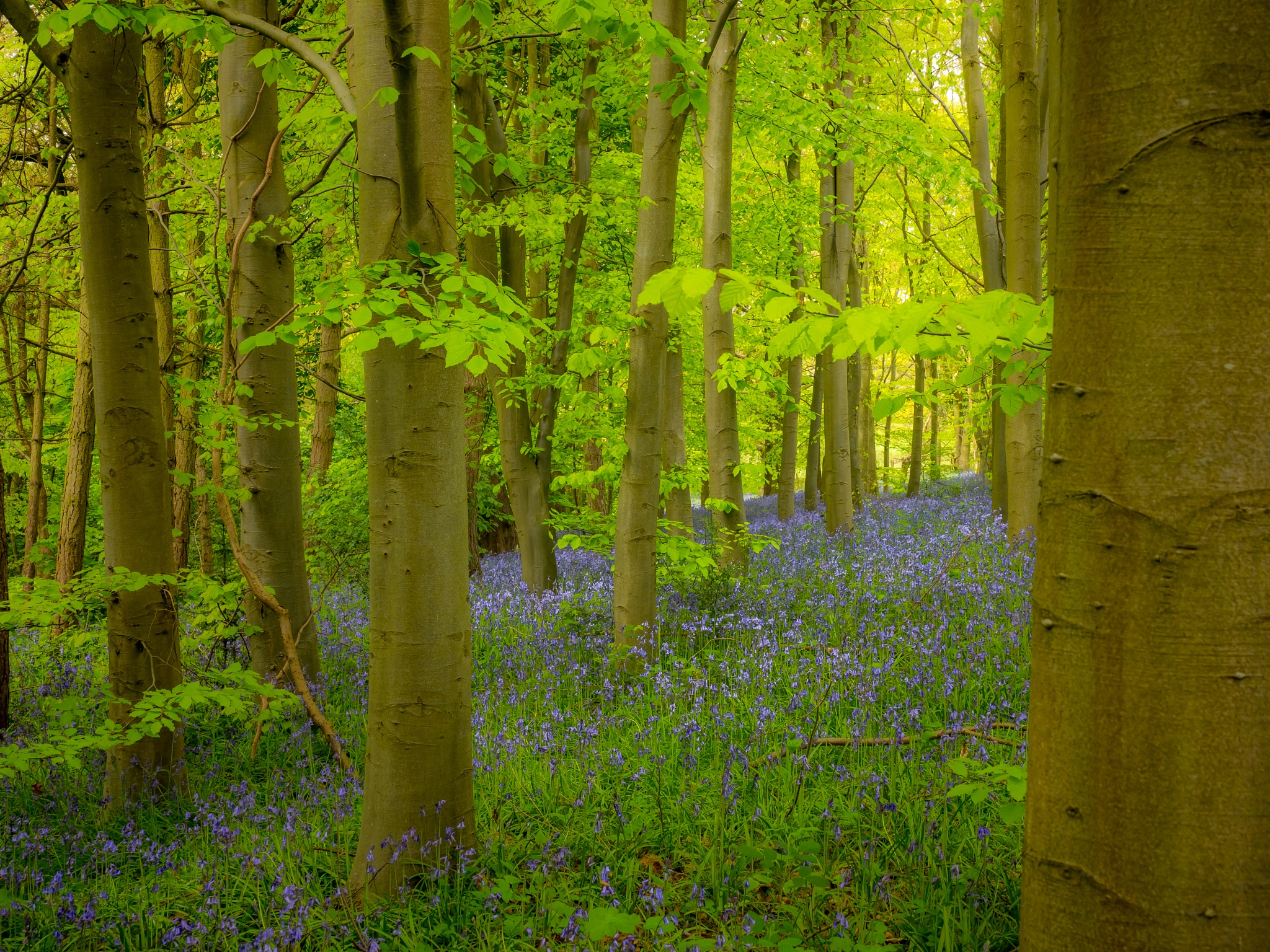 Bluebell Bank by Sarah Walters