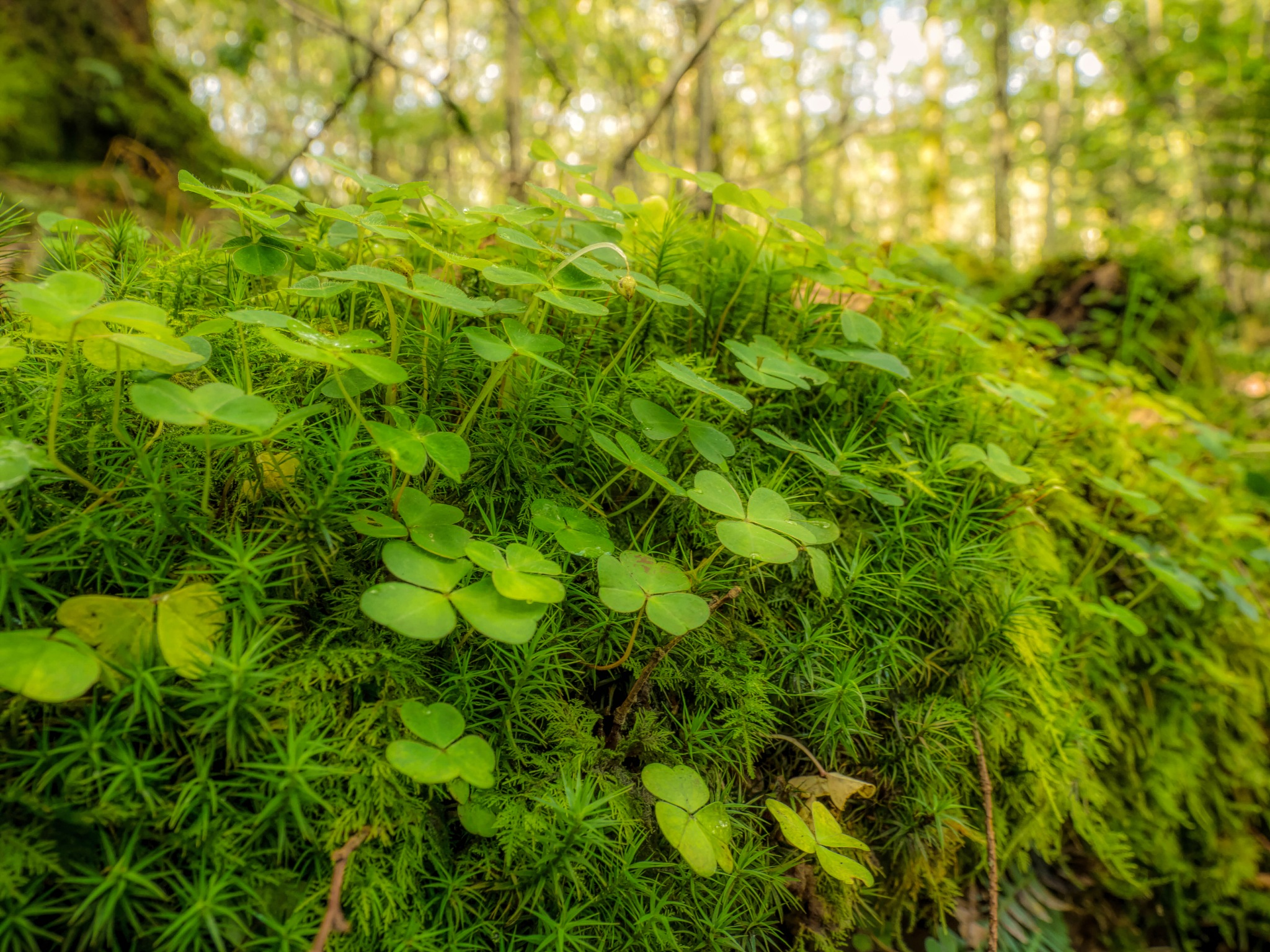 Wood Sorrel and Moss by Sarah Walters