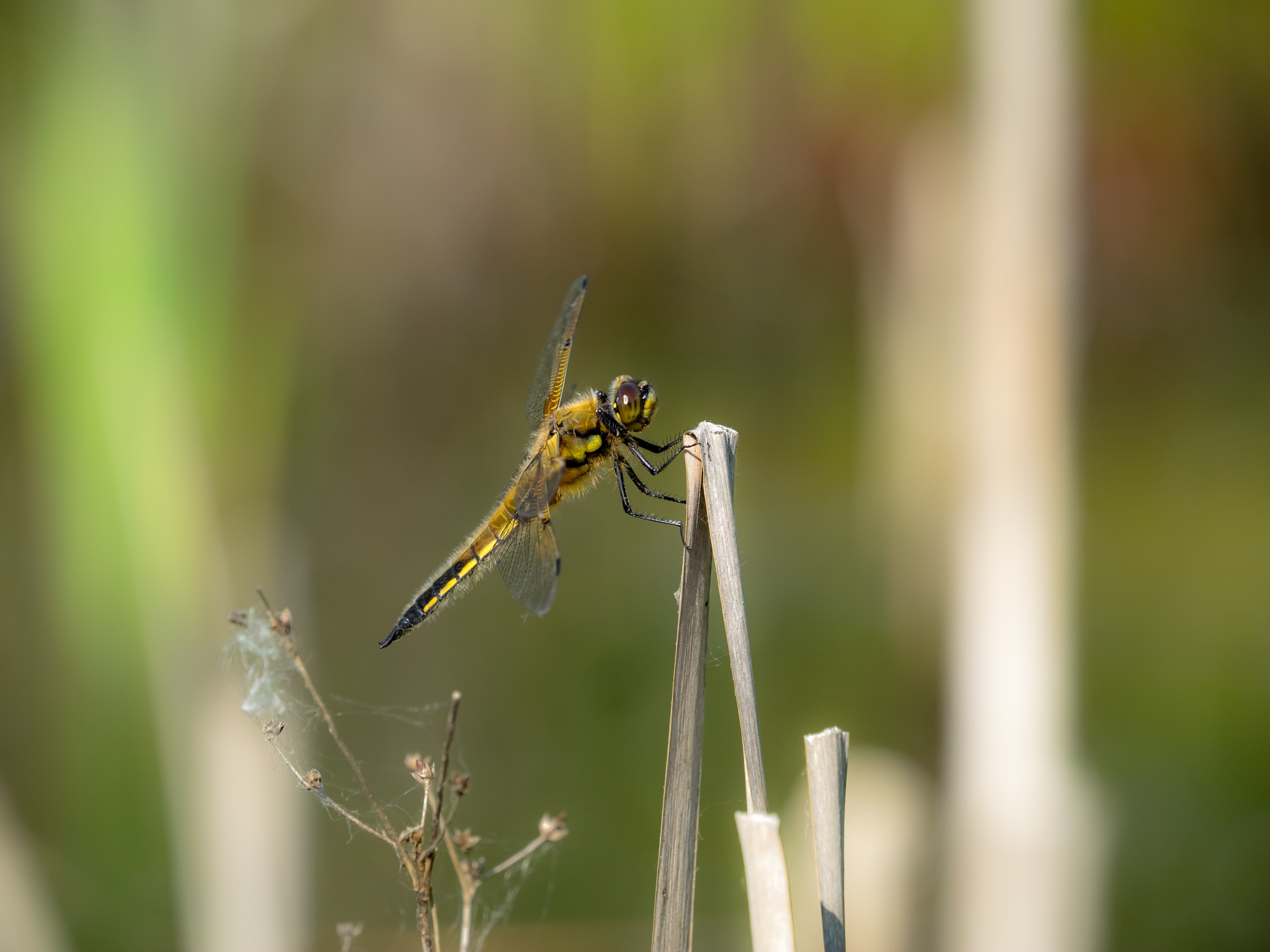 Photo in Nature #dragonfly #odonata #ponds #nature #insects
