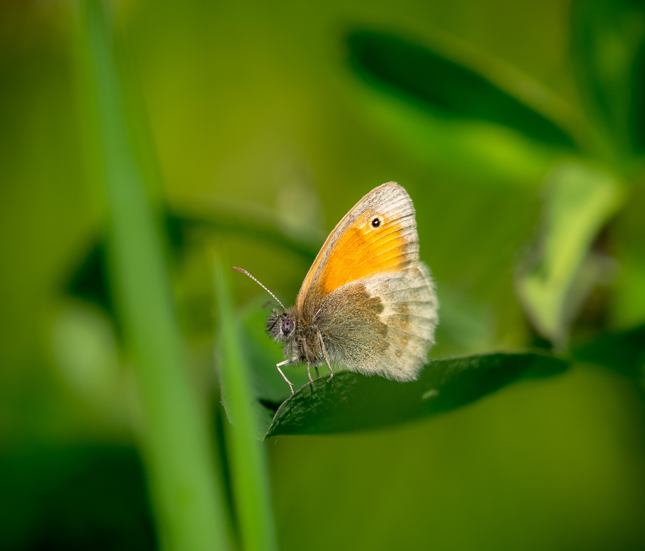 Small Heath Butterfly by Sarah Walters