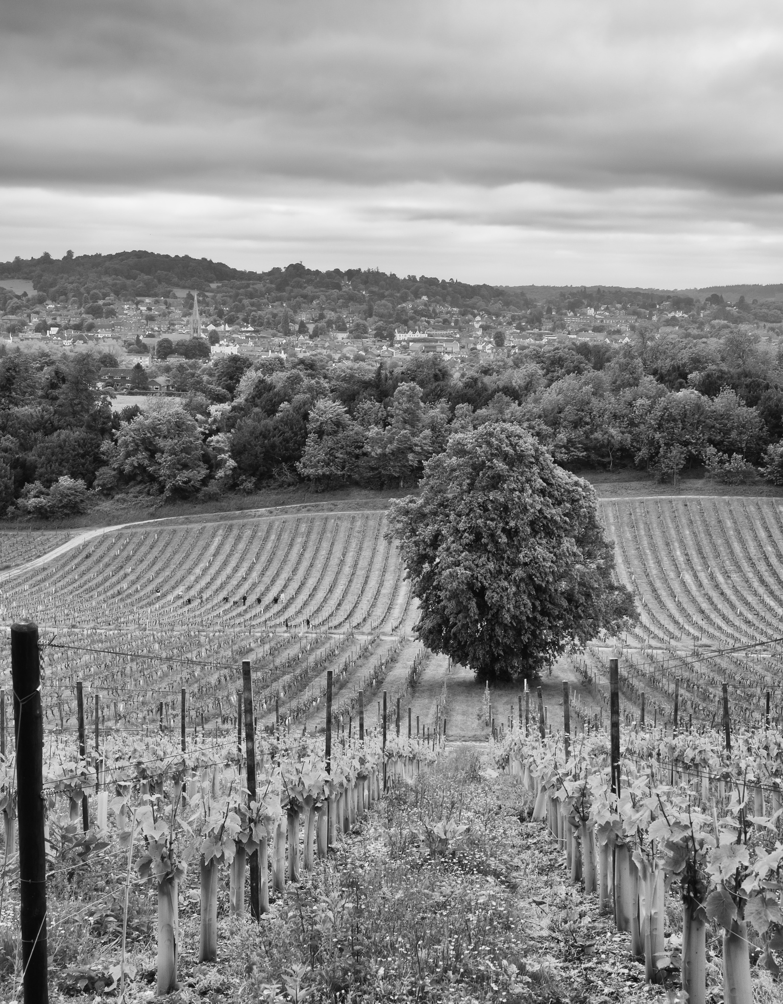 Photo in Landscape #vineyard #trees #landscape #black and white