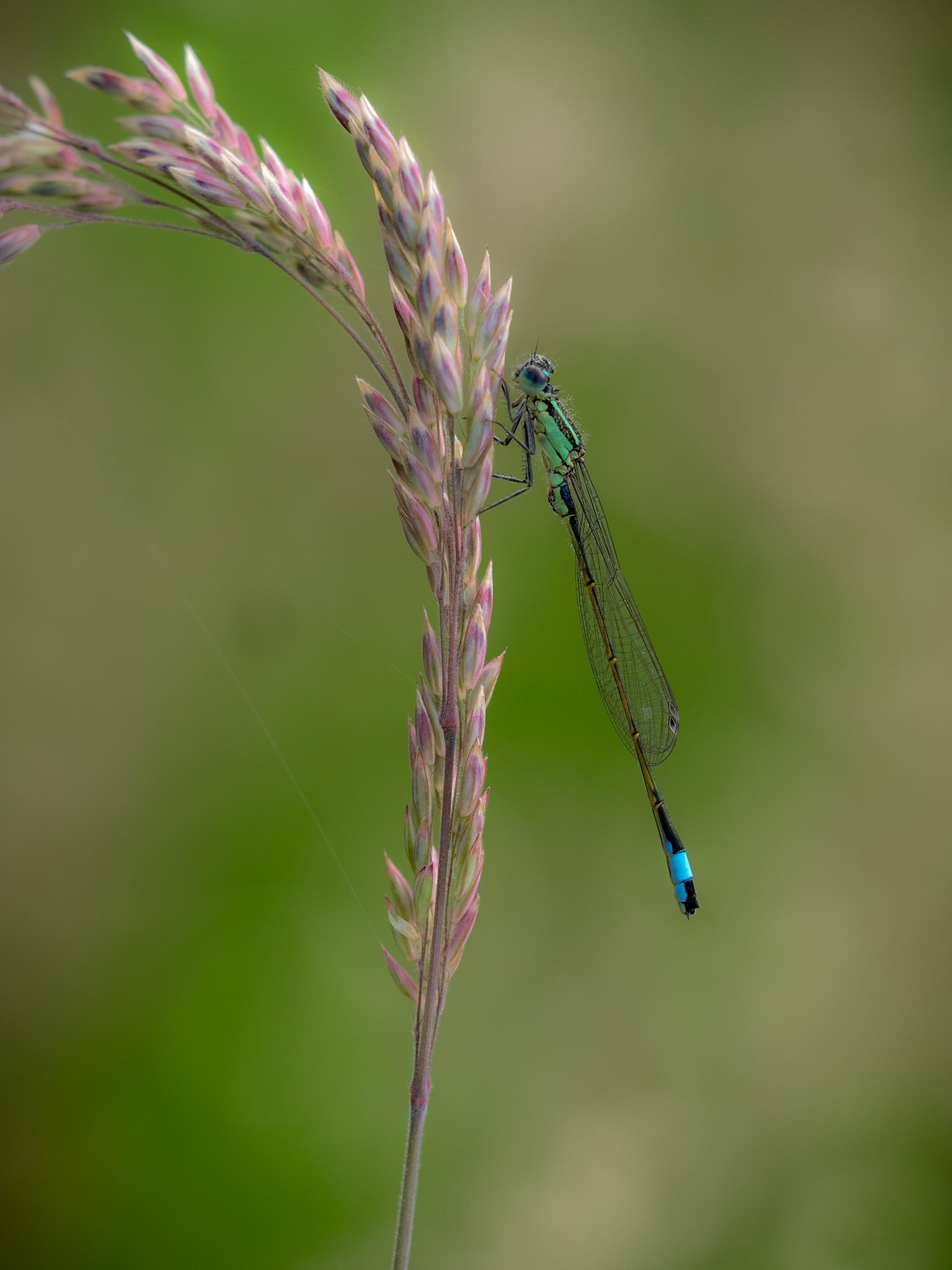 Blue-tailed damselfly by Sarah Walters