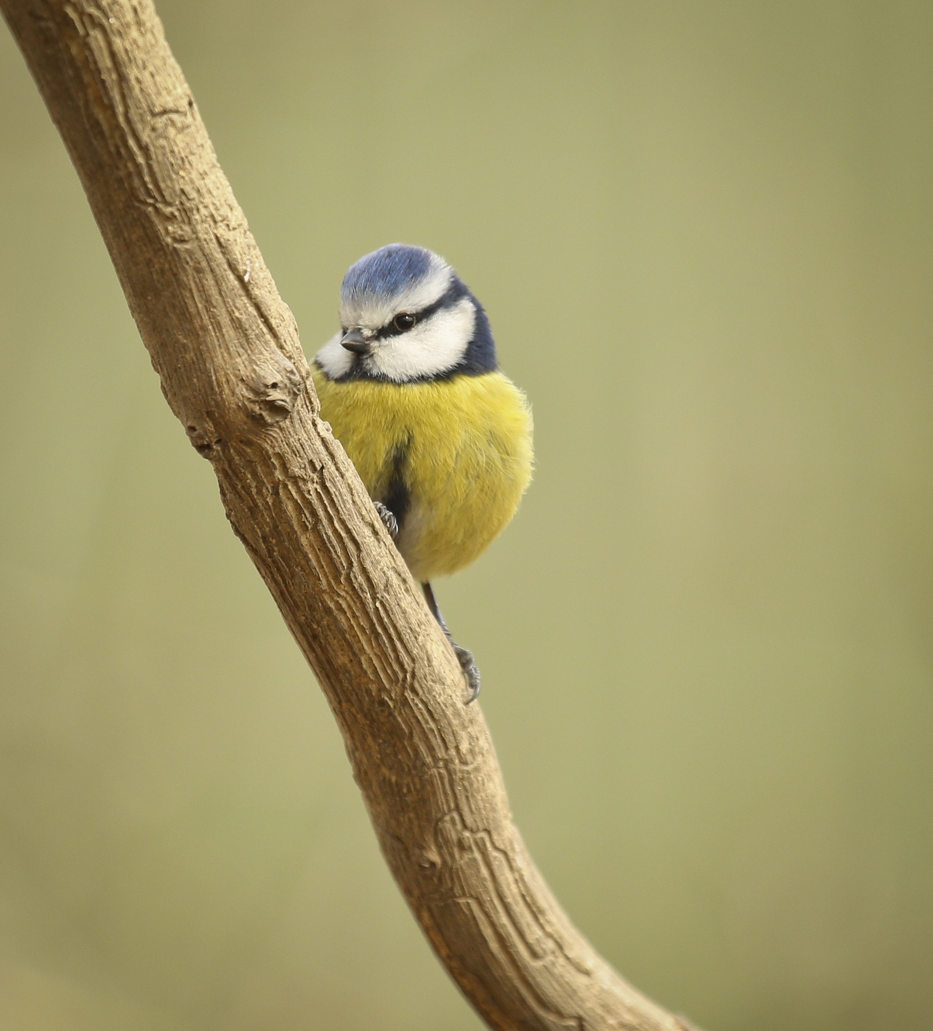Blue Tit by Sarah Walters