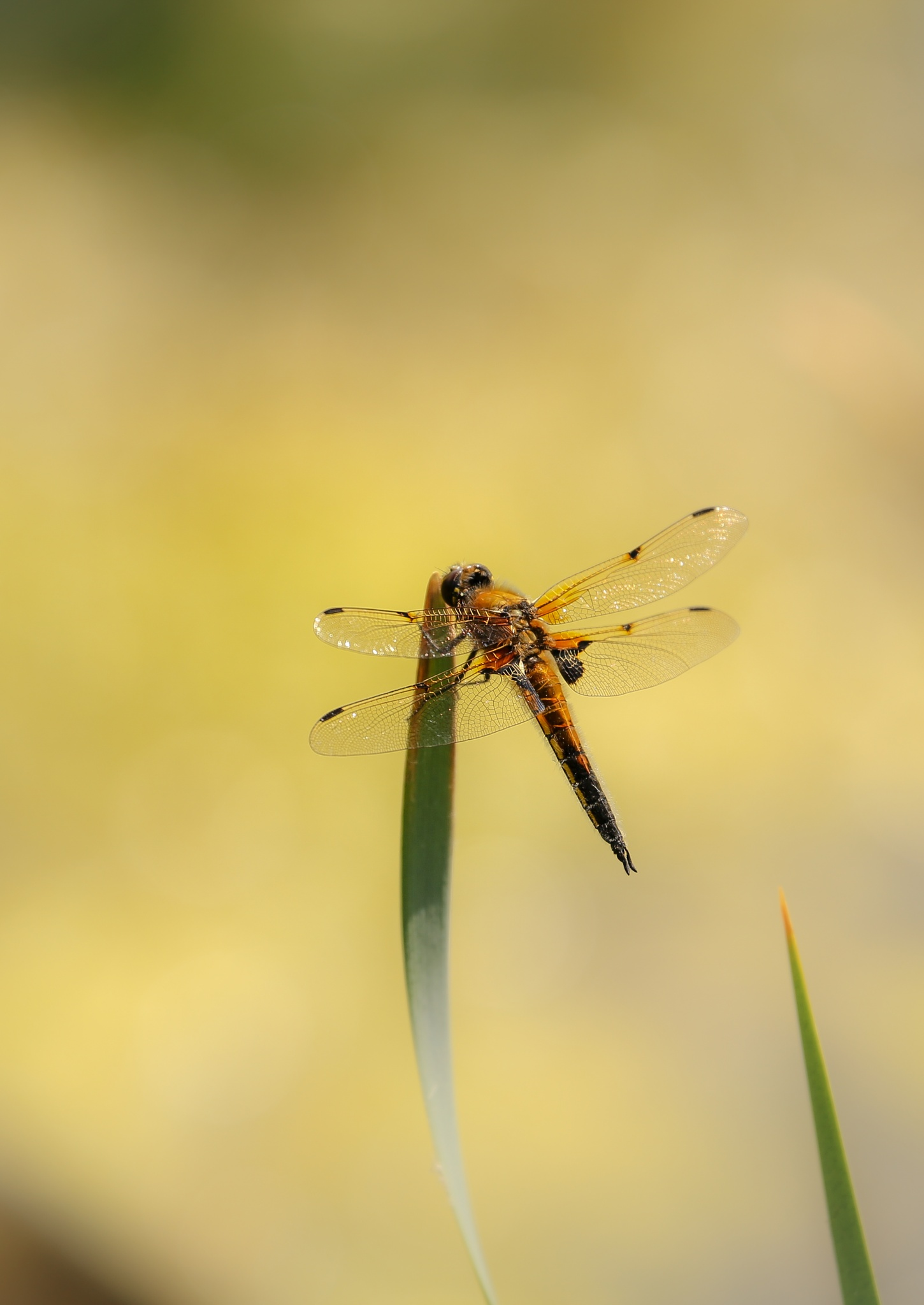 Four-Spotted Chaser by Sarah Walters