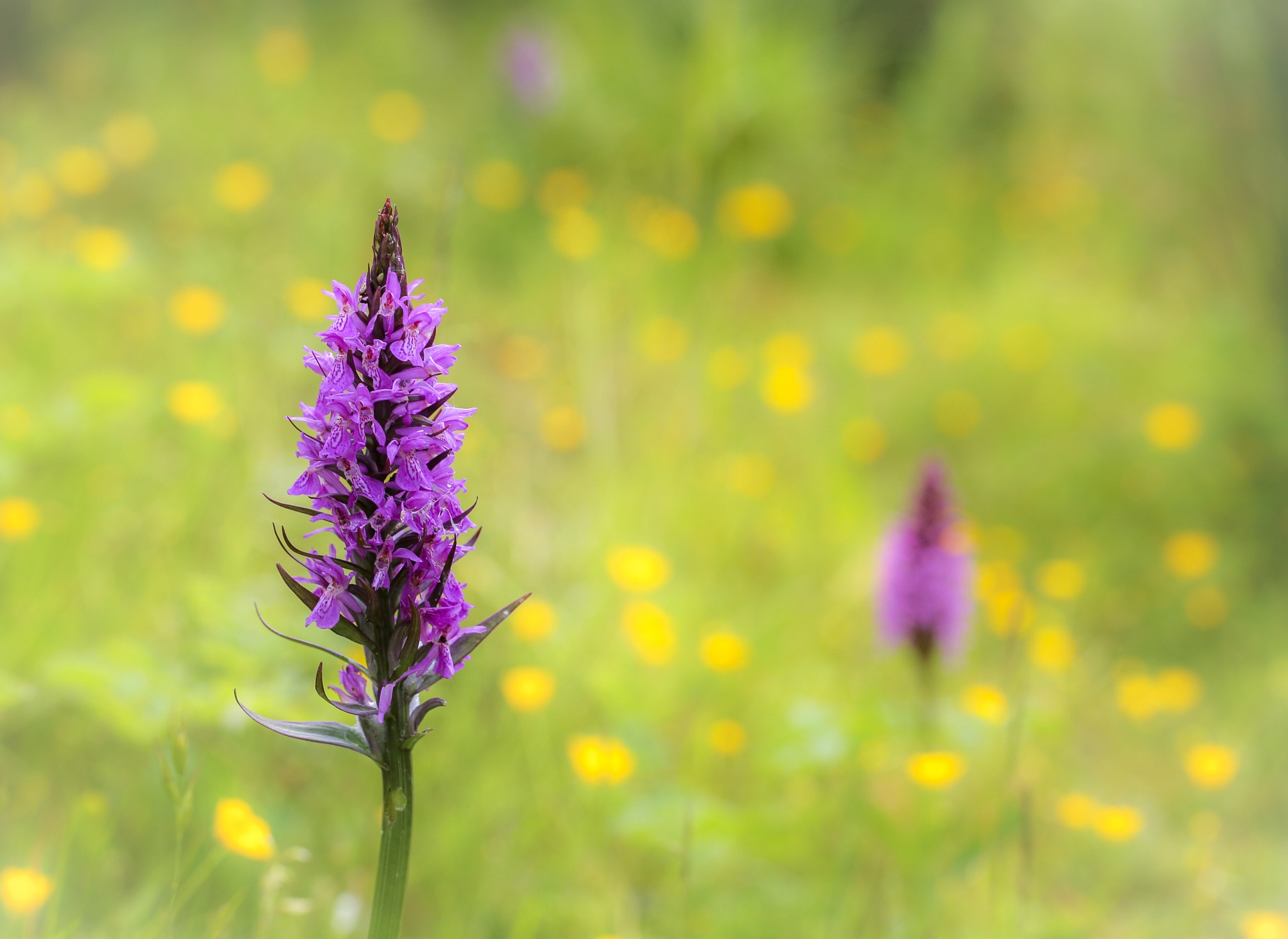 Orchids and buttercups by Sarah Walters