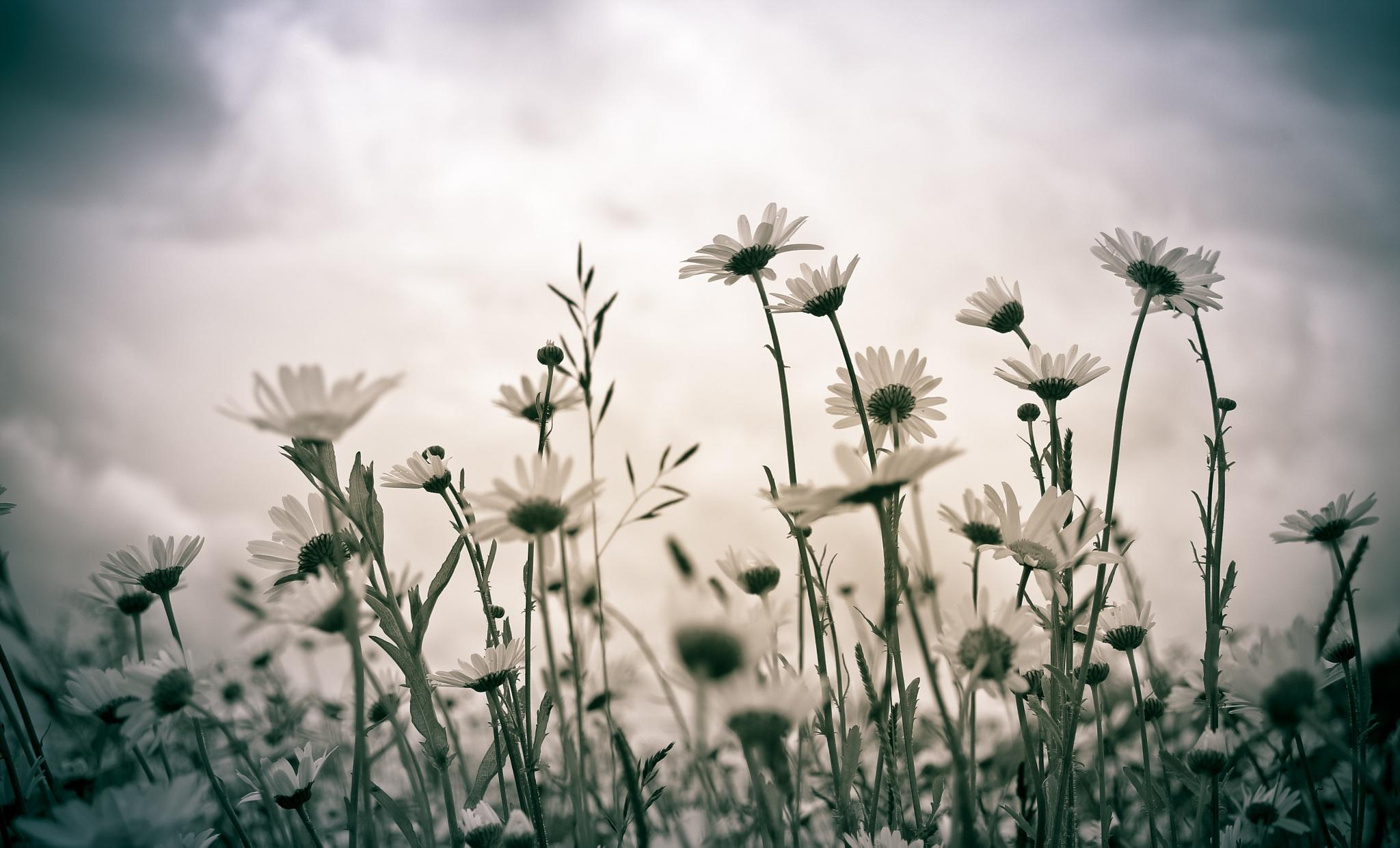 Daisies by Sarah Walters