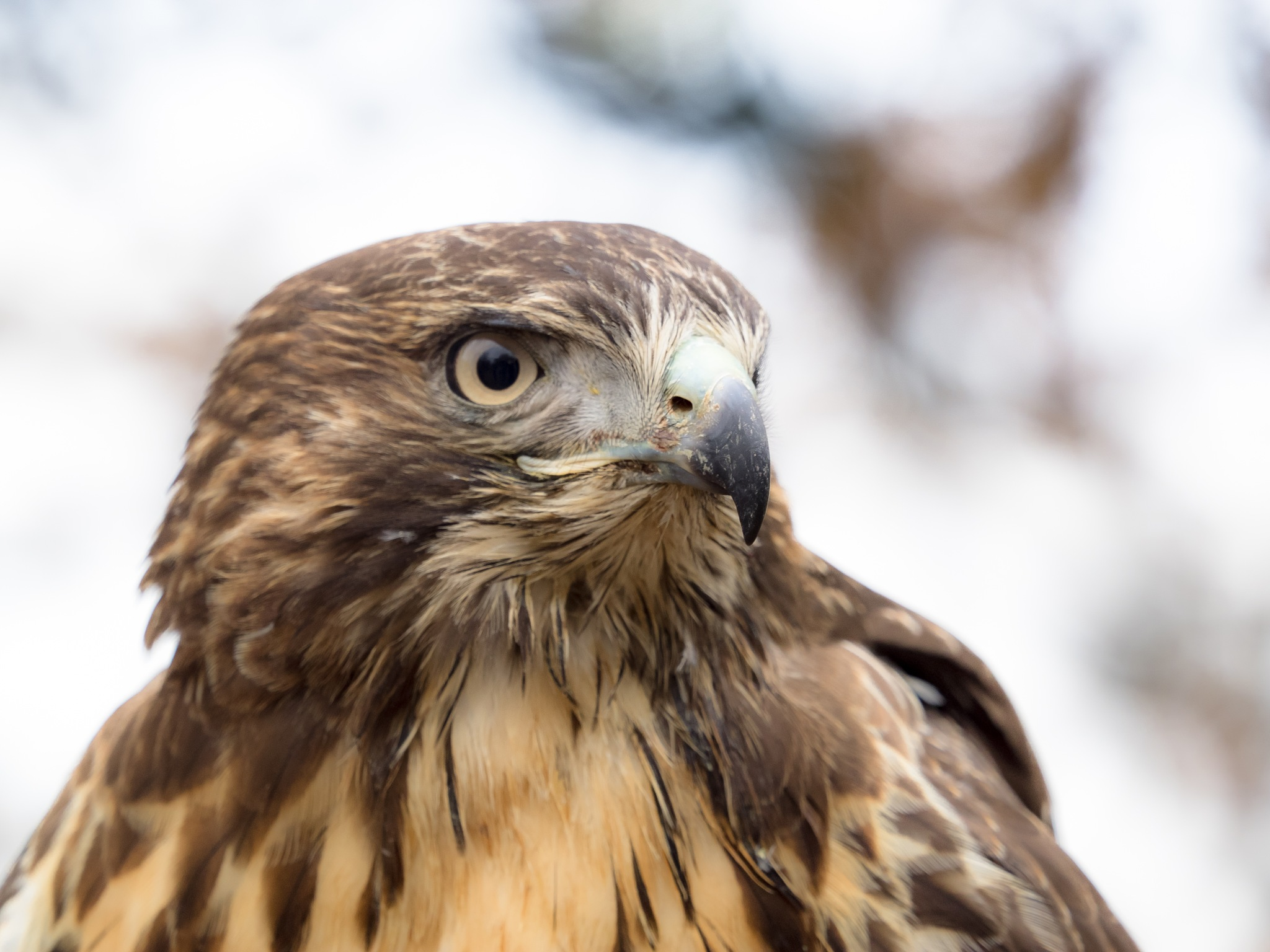 Red-tailed buzzard by Sarah Walters