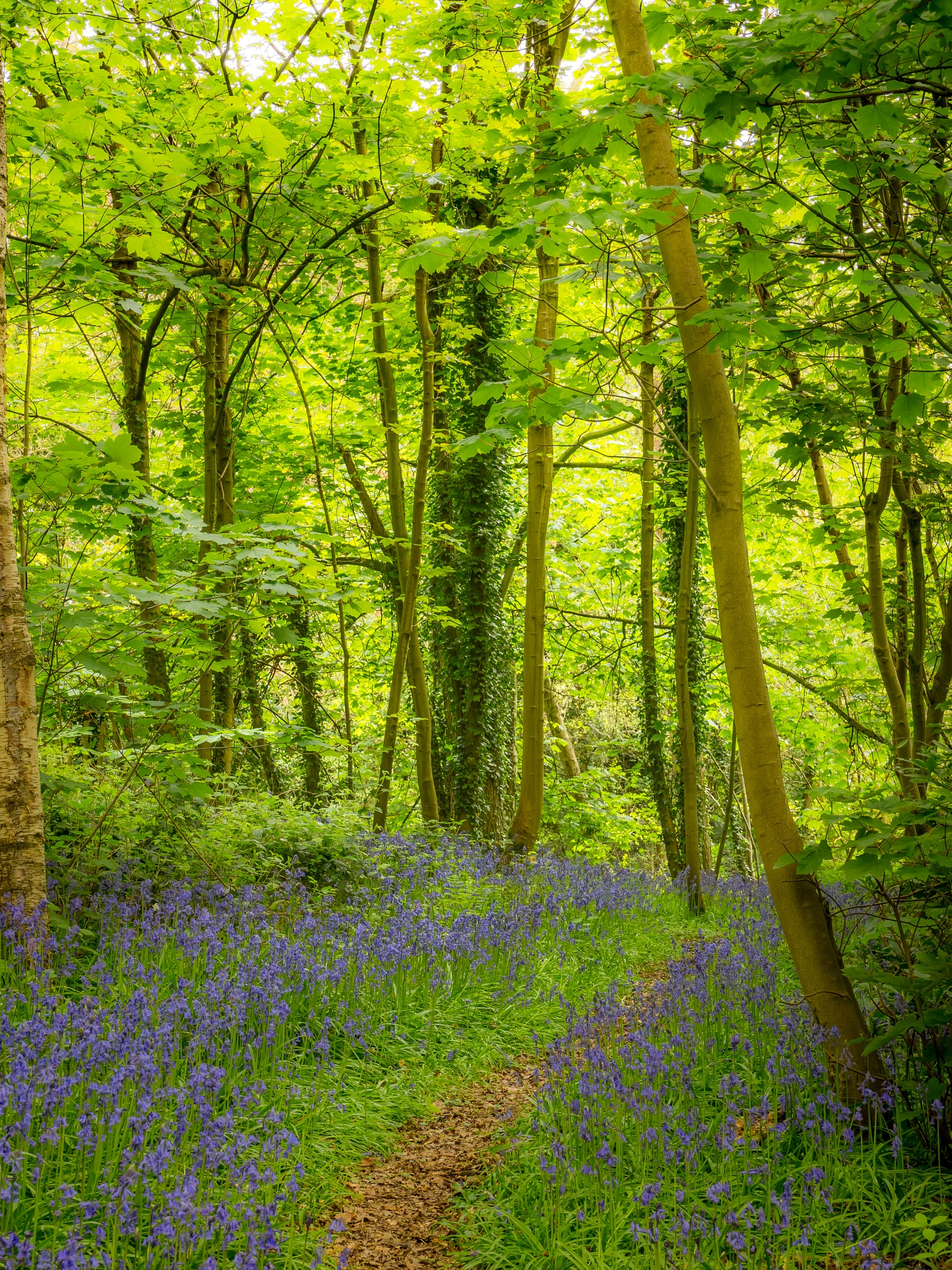 Bluebell Path by Sarah Walters