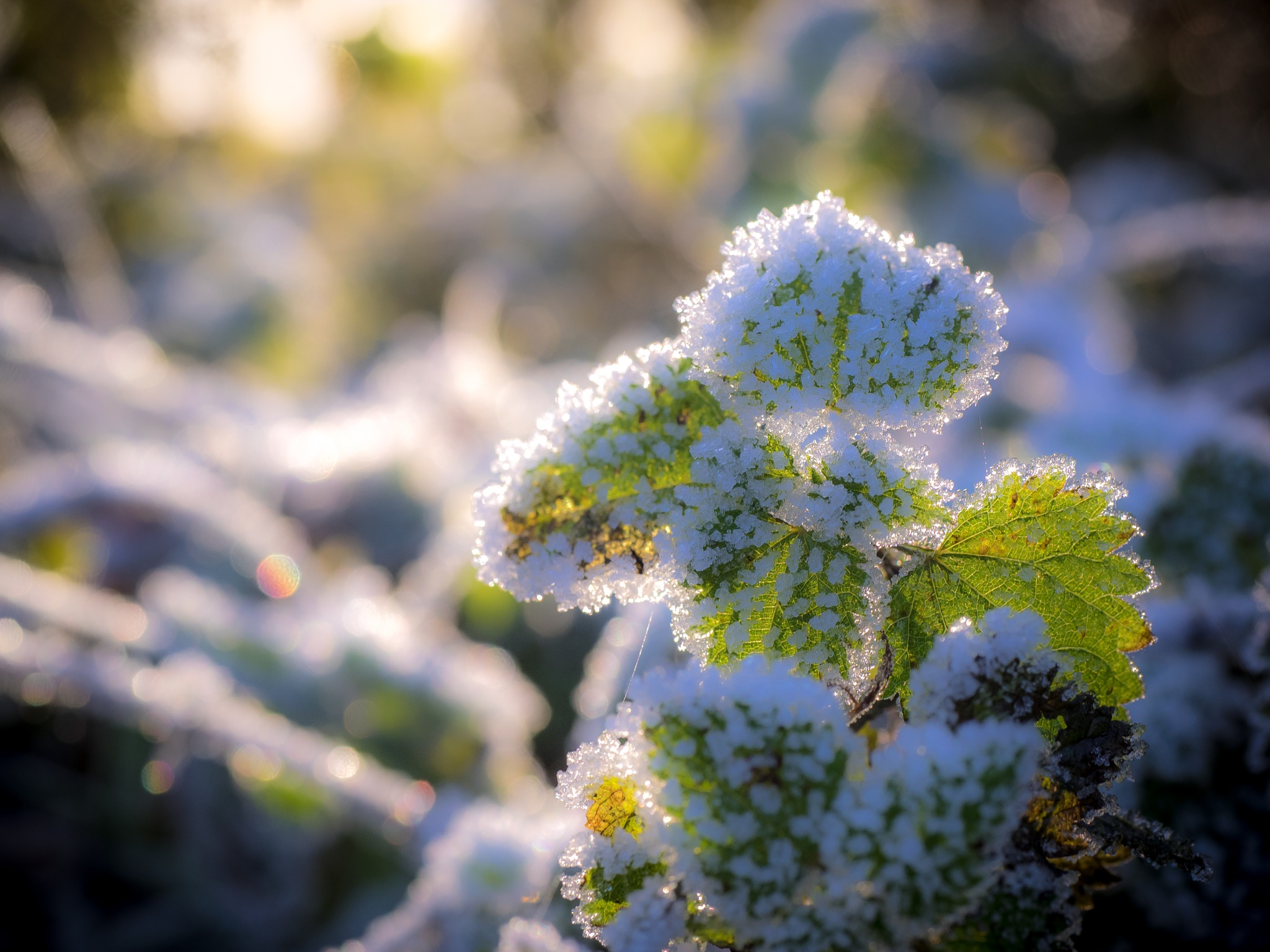 Frosted Nettle by Sarah Walters