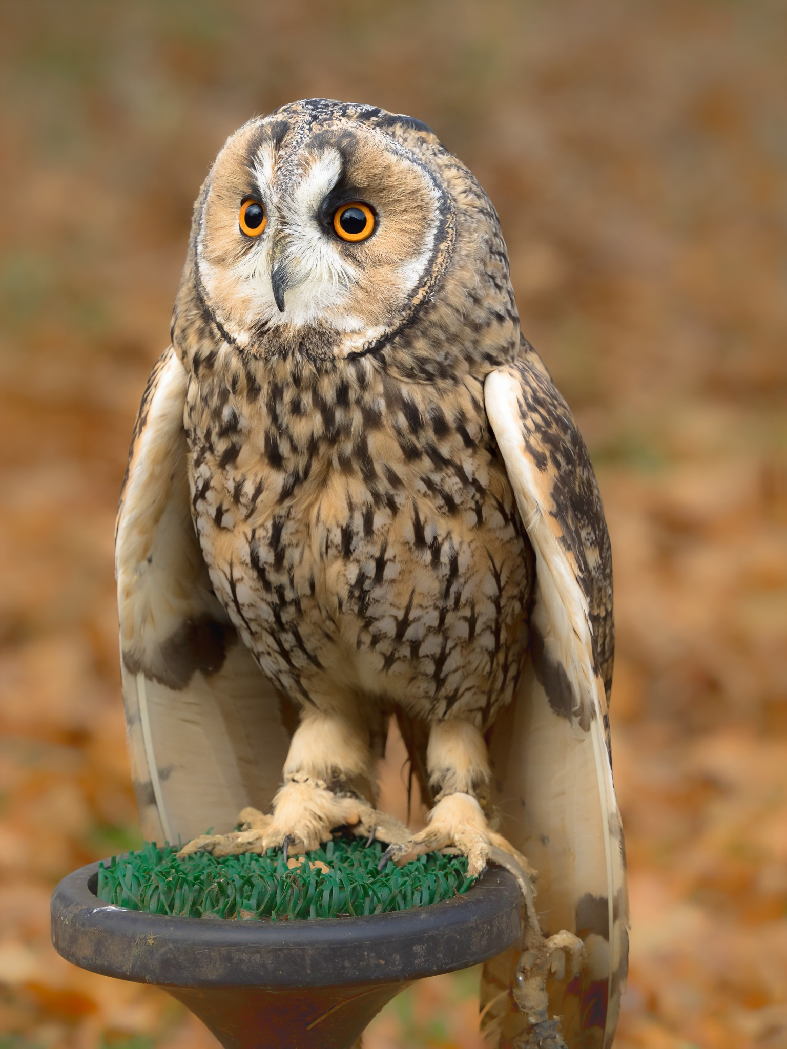 Long-eared Owl by Sarah Walters