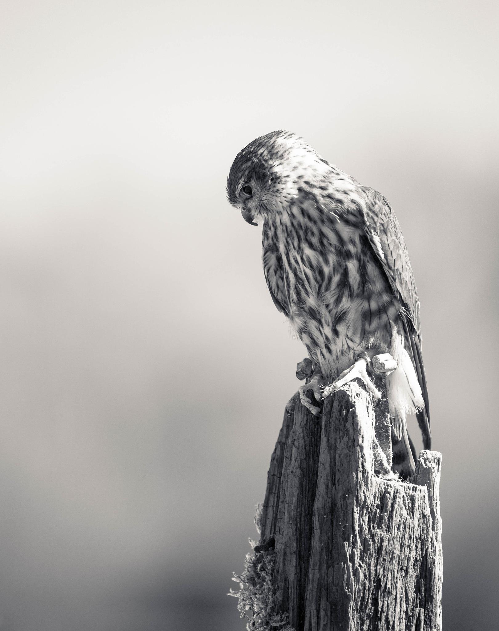 Merlin by Sarah Walters