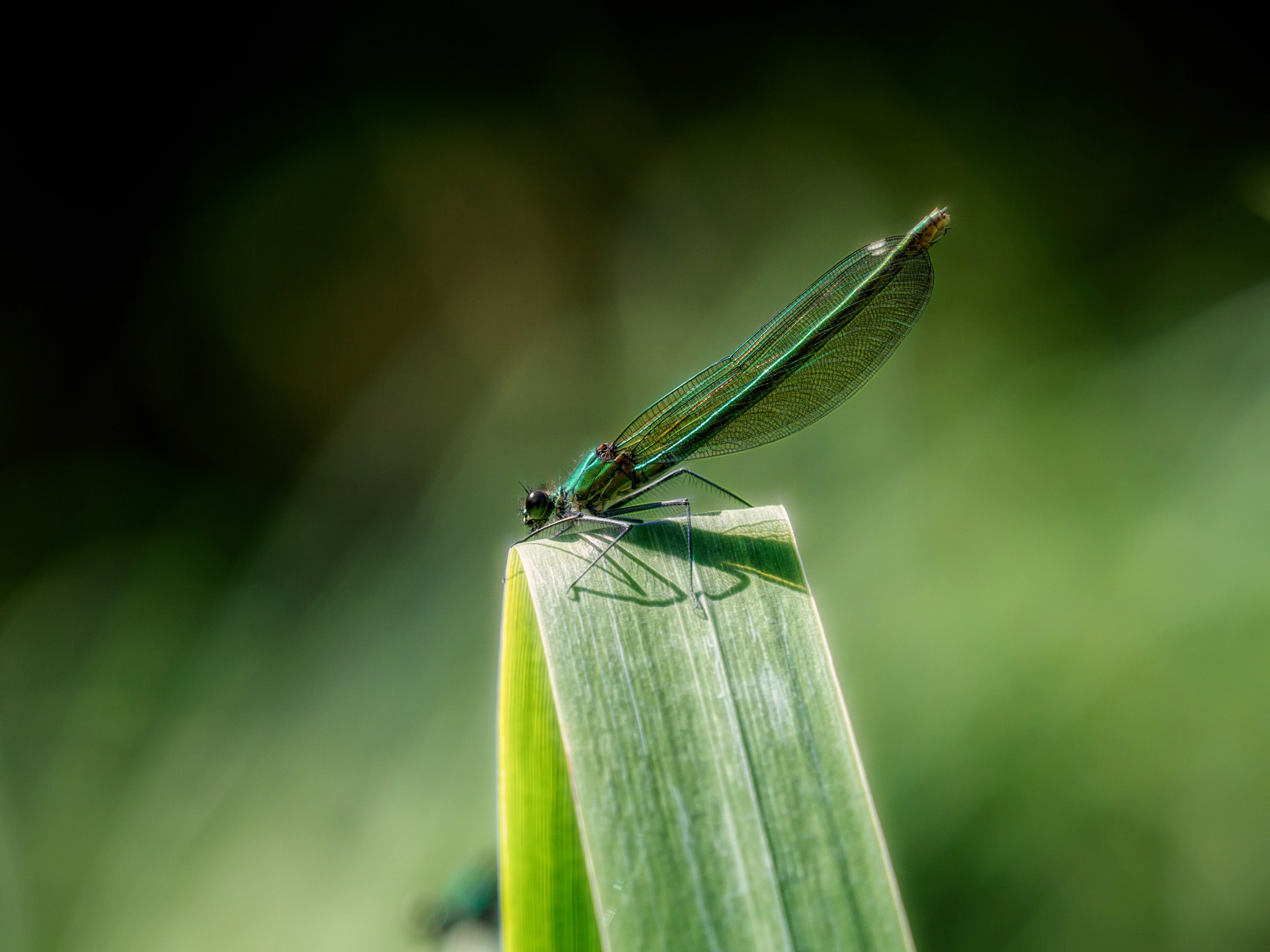 Banded Demoiselle by Sarah Walters