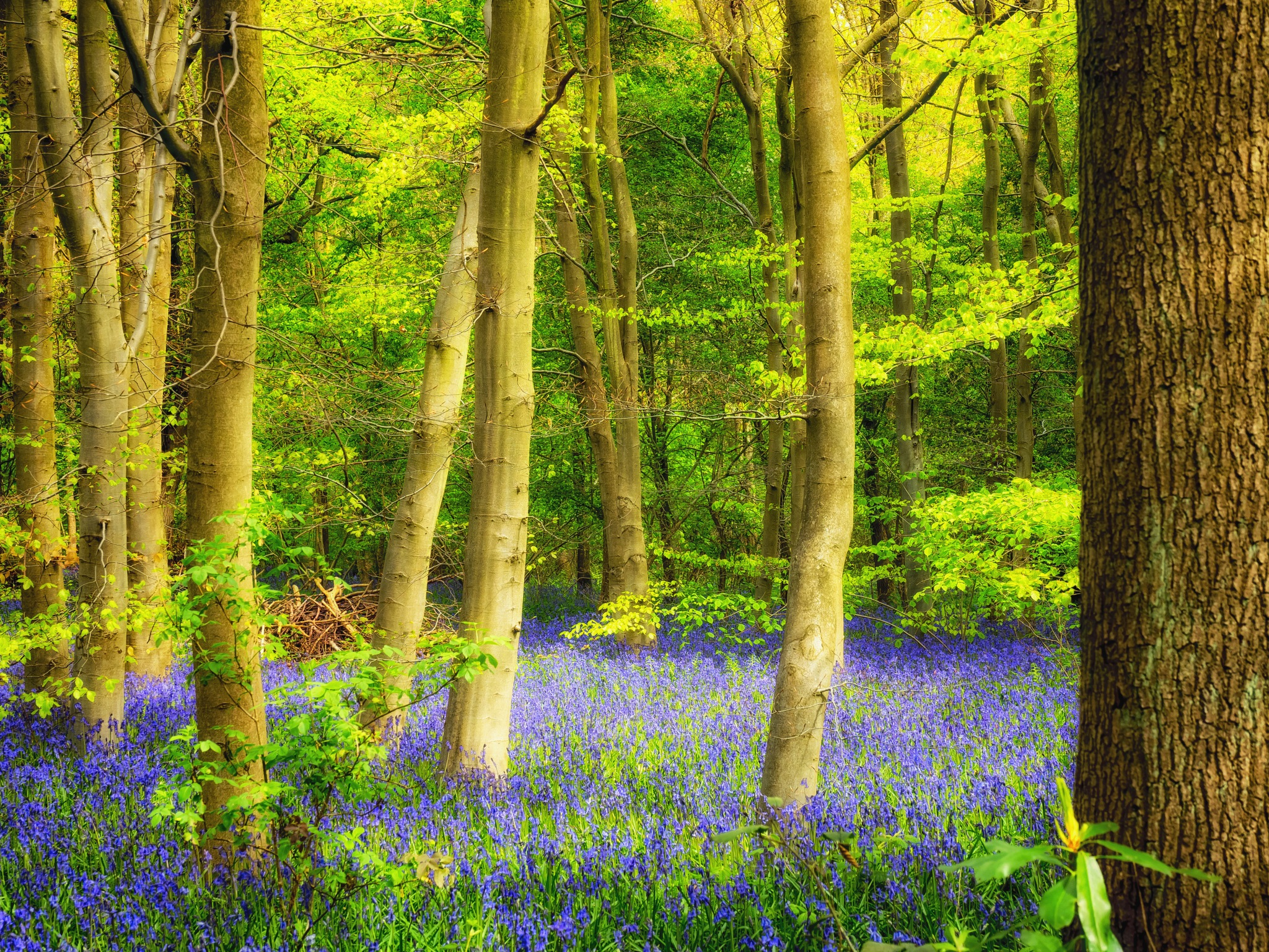 Bluebell Woods by Sarah Walters