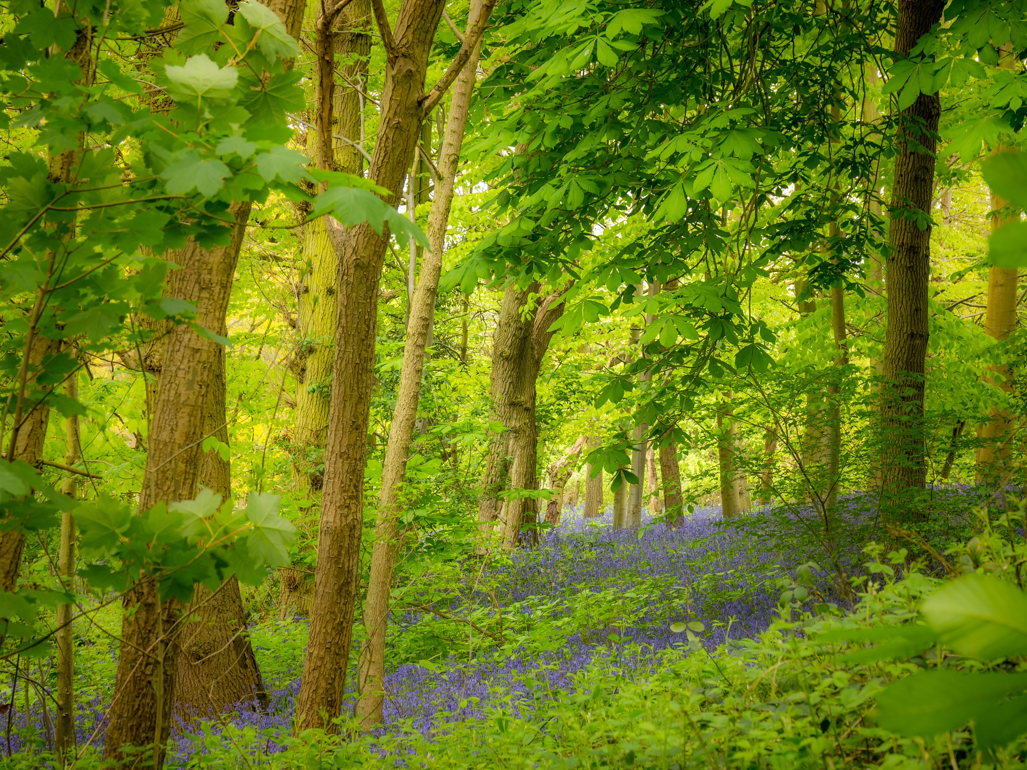 Bluebells on a bank by Sarah Walters