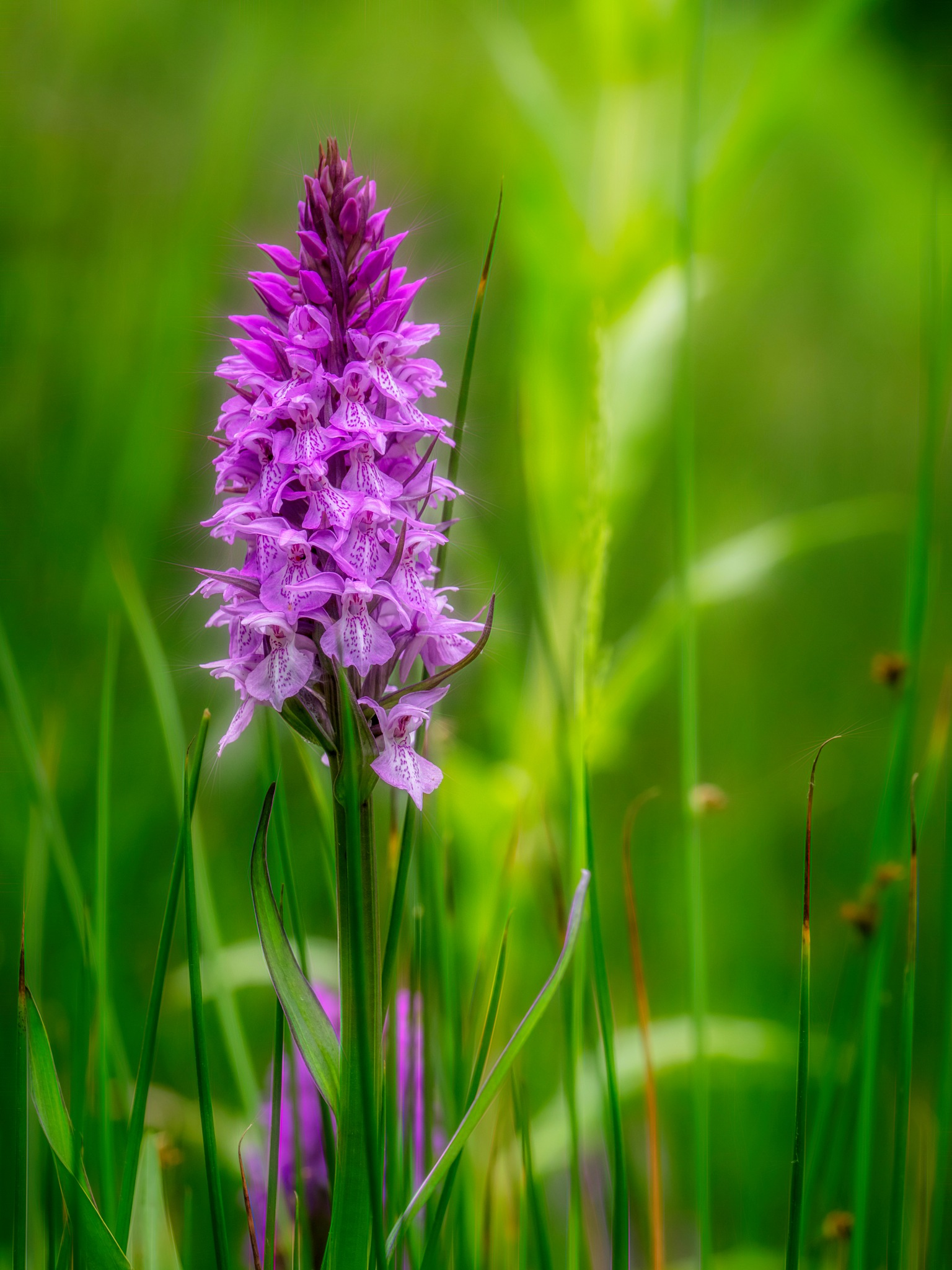 Marsh Orchid by Sarah Walters