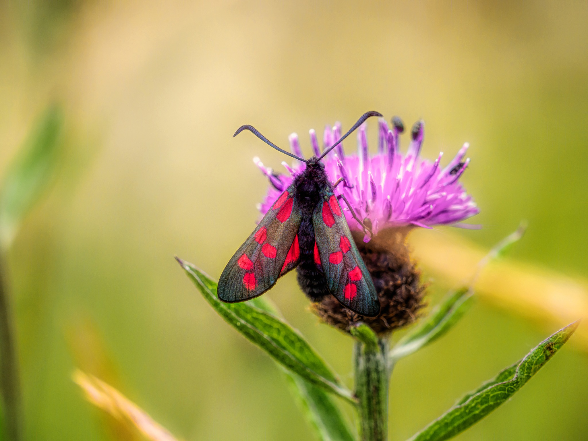 Six-spot Burnet by Sarah Walters
