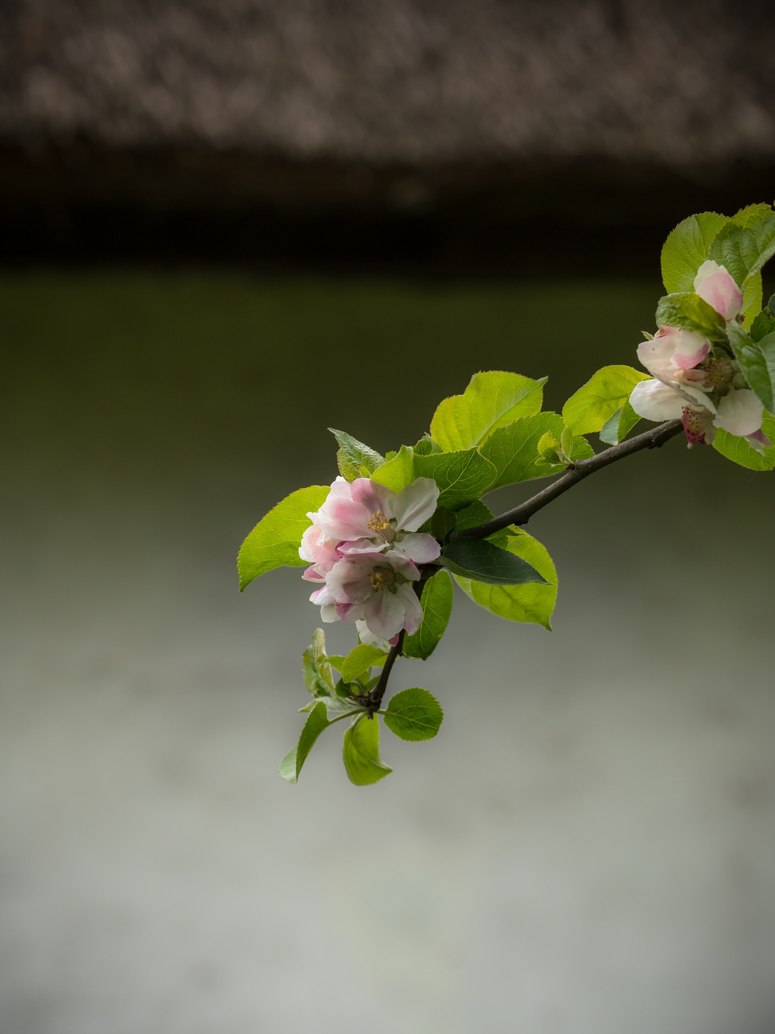 Apple Blossom by Sarah Walters