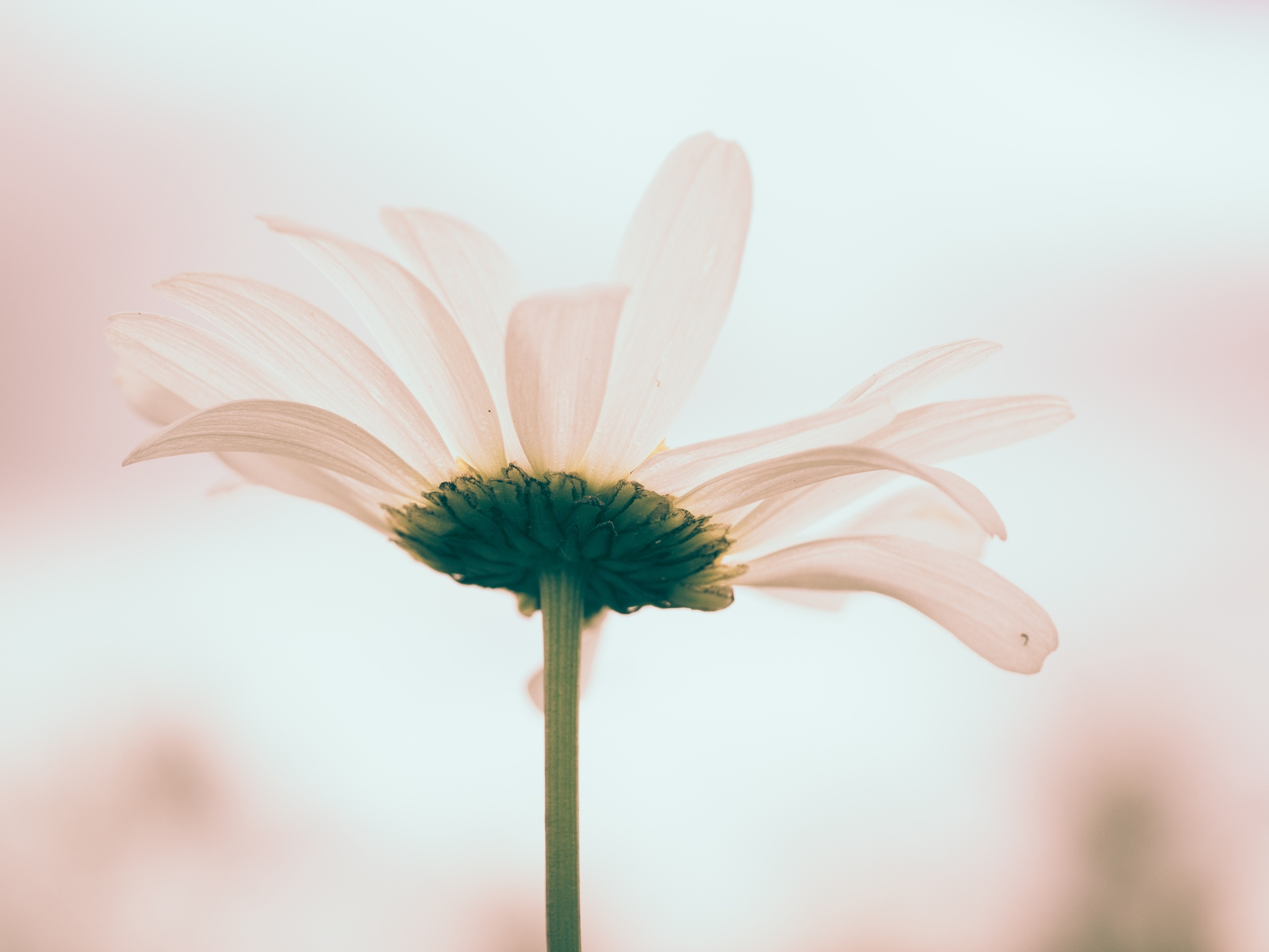 Daisy in pink by Sarah Walters