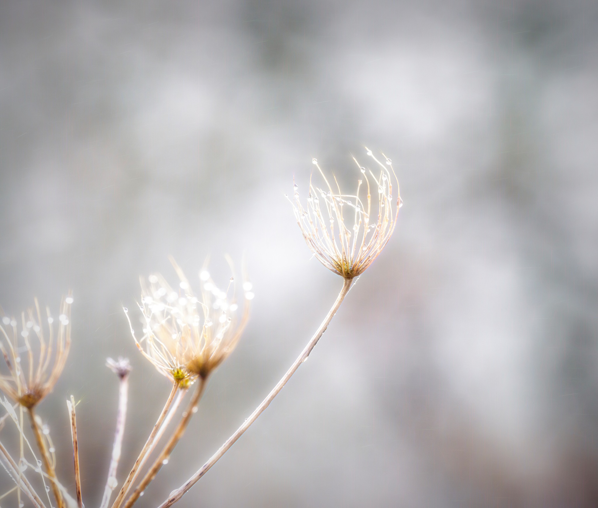 Fog Droplets on Seed Head by Sarah Walters