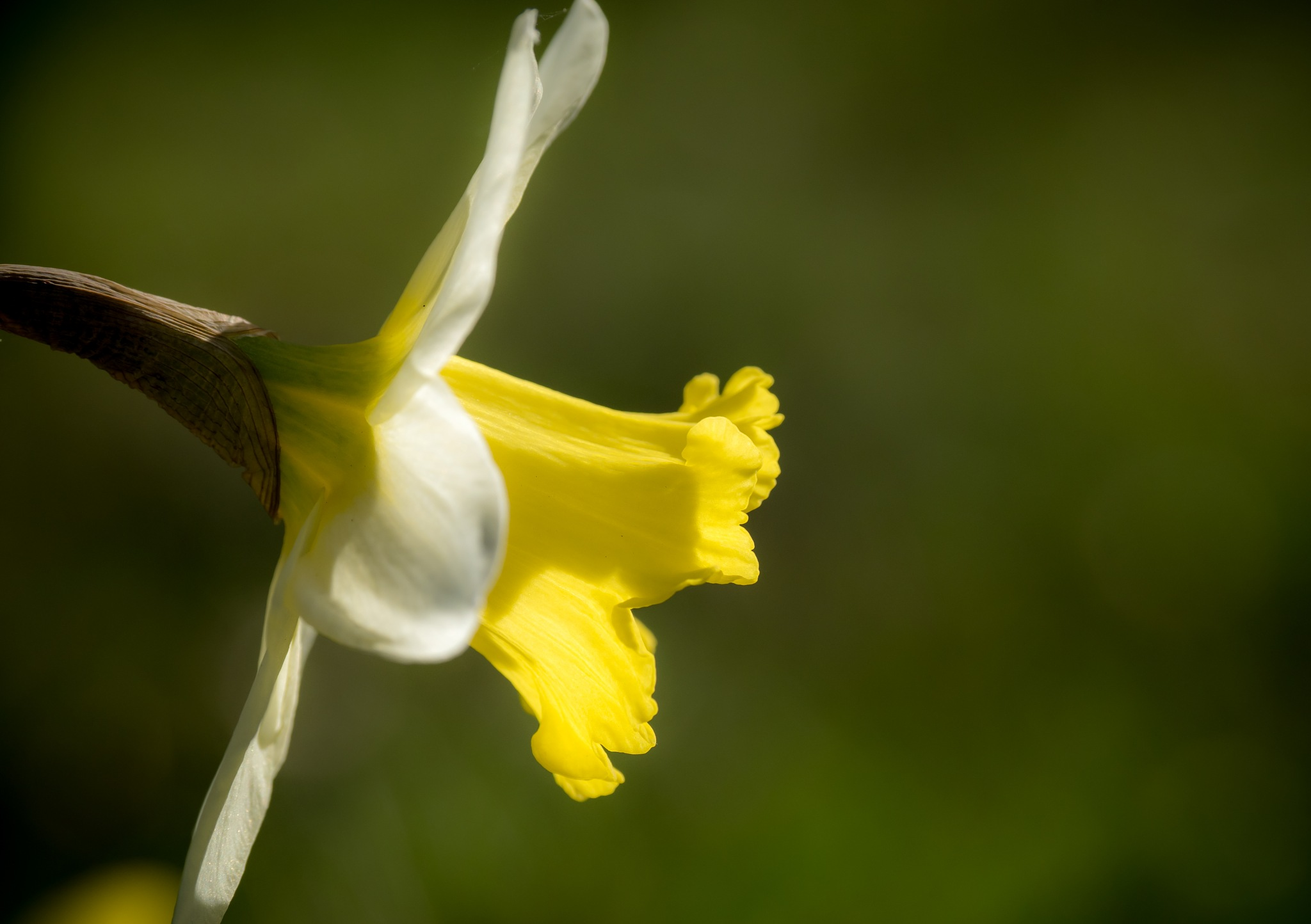 Daffodil by Sarah Walters