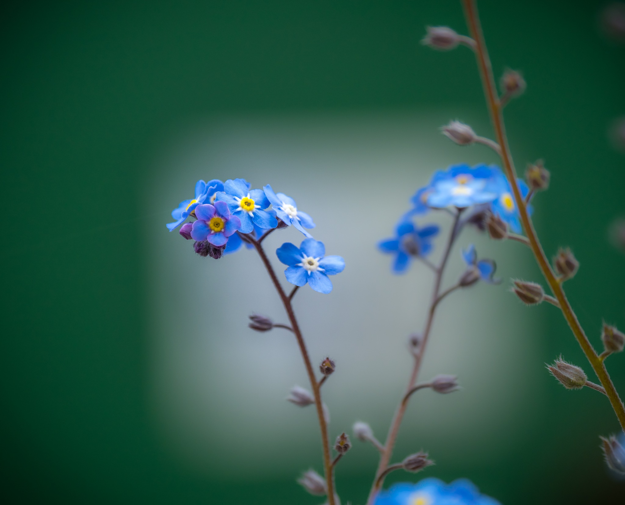 Forget-me-not by Sarah Walters