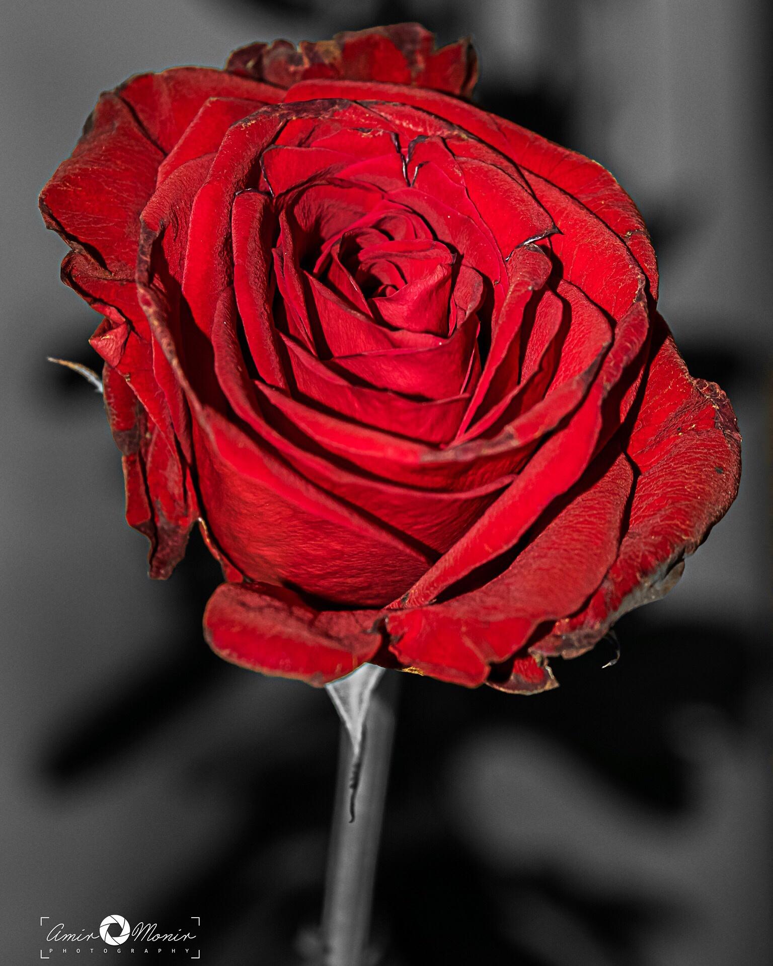 Flower  by Amir Monir