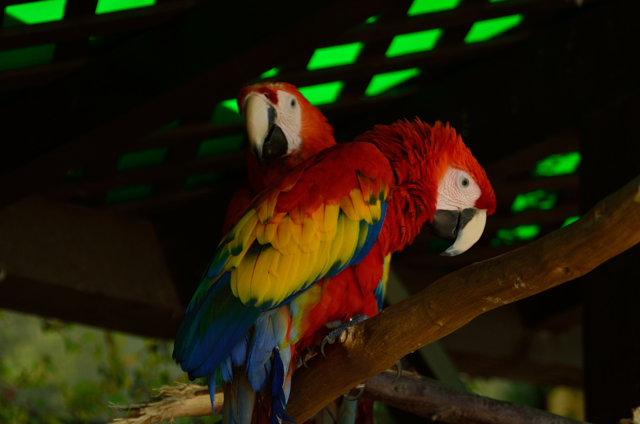 Parrots Hanging Out by Andrew Fuchs