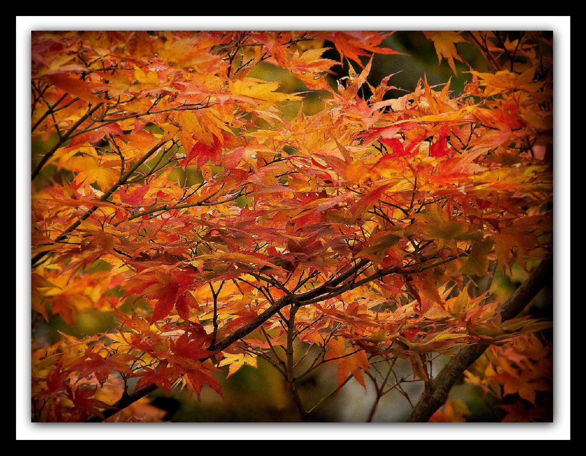 Japanese Maple by bradeckelphotography