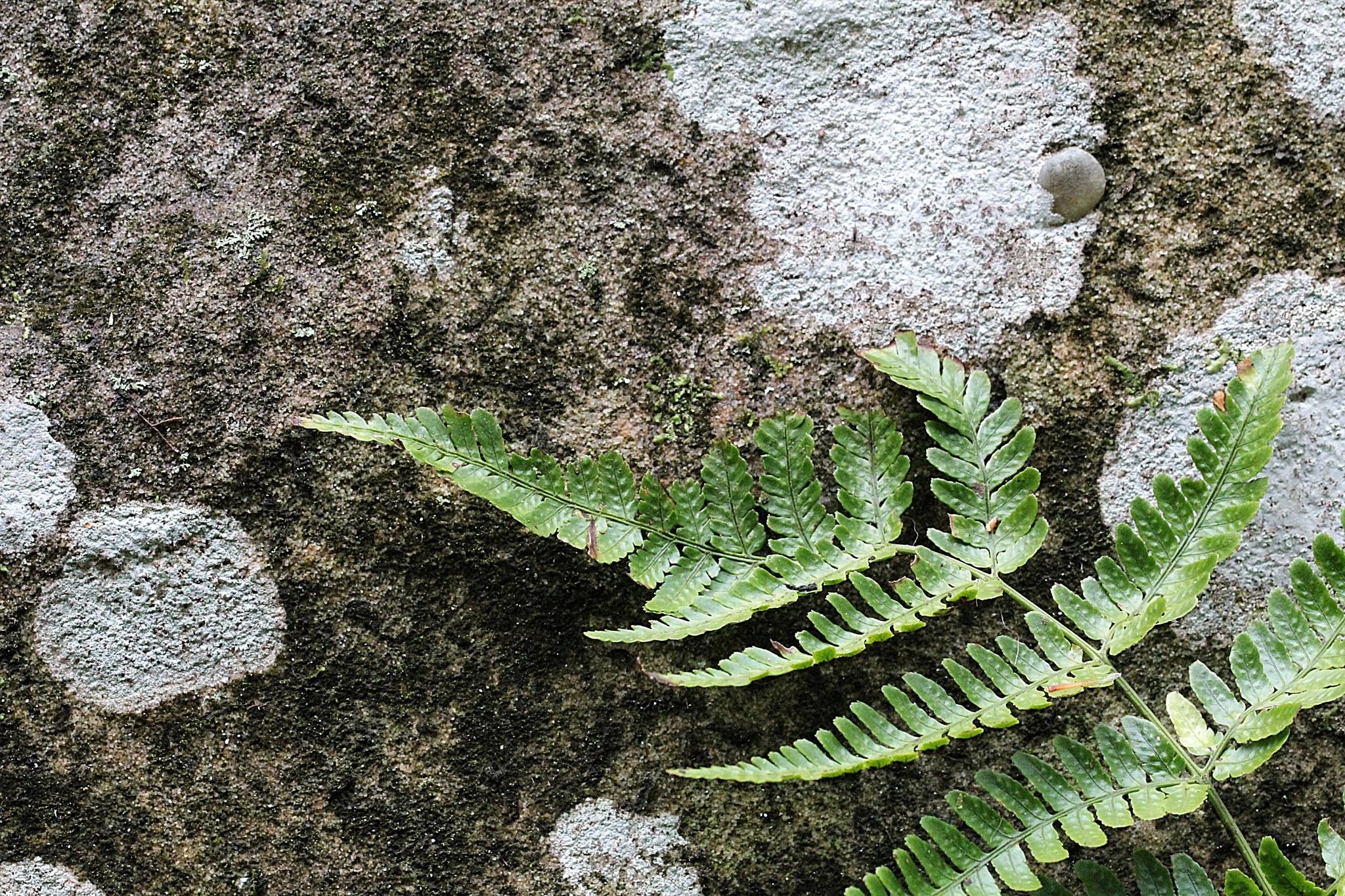 Fern on Stone by Lyndon Haston
