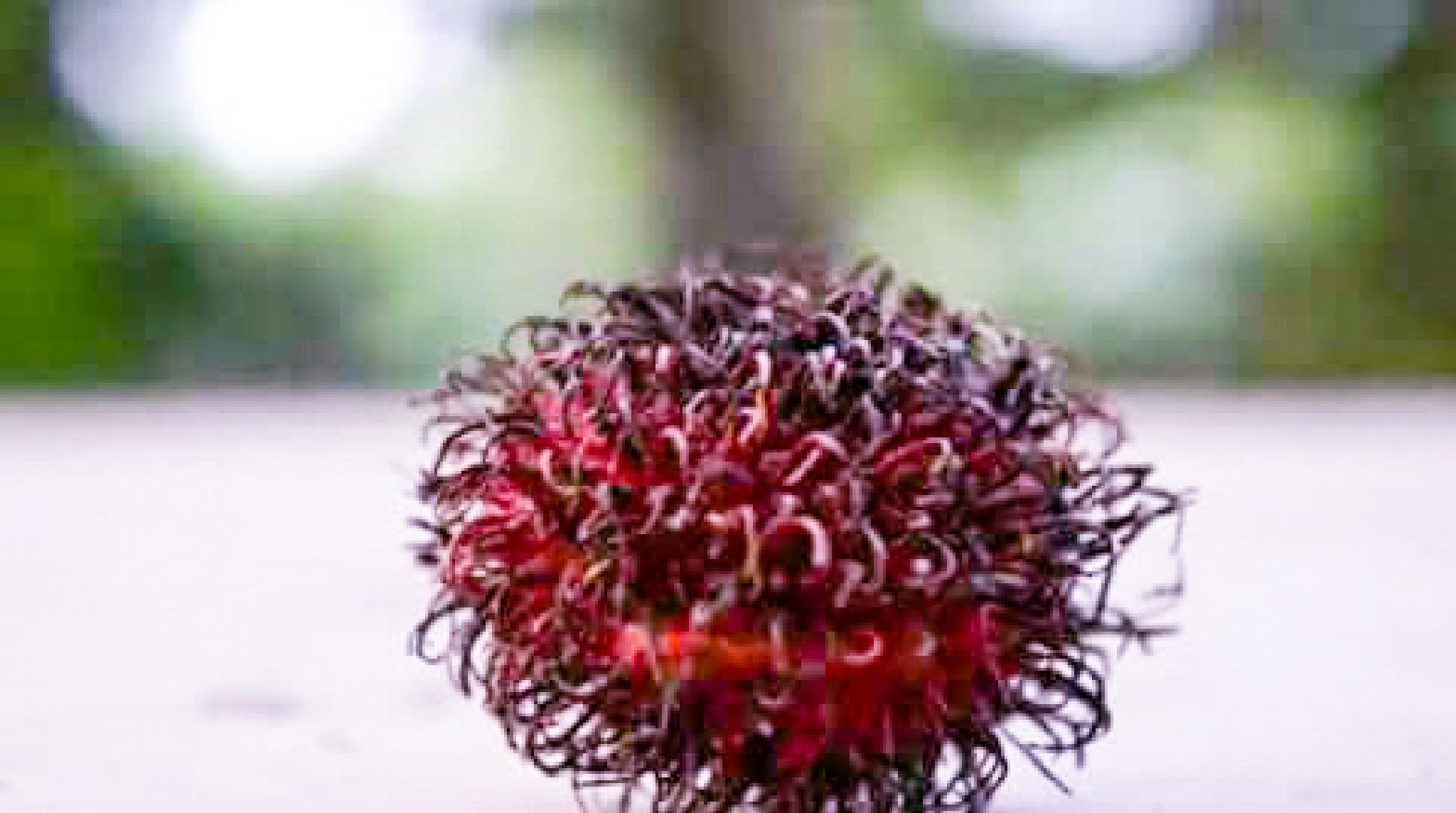 rambutan by Djamhur Abdullah Mimbar