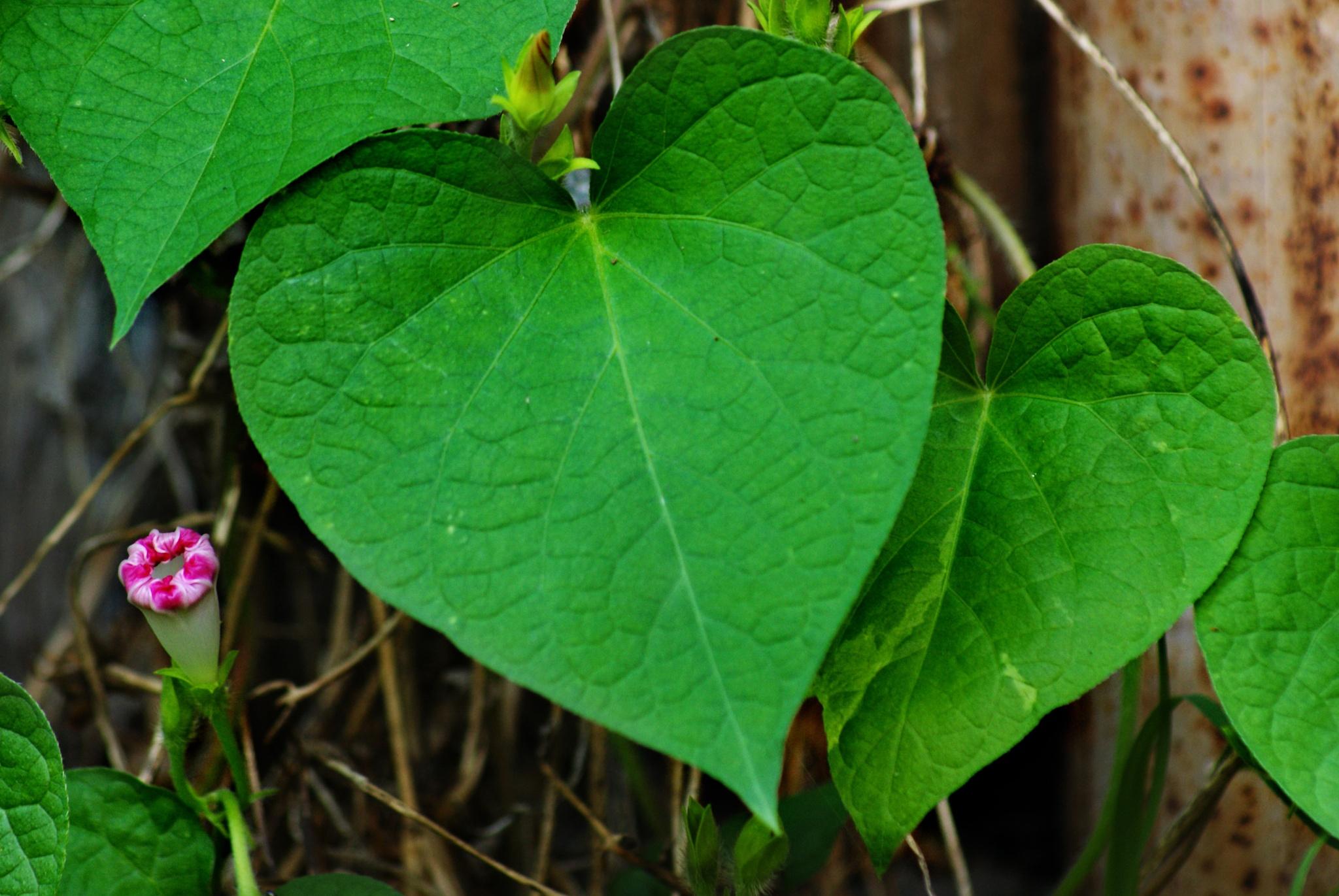 green heart by edyctin