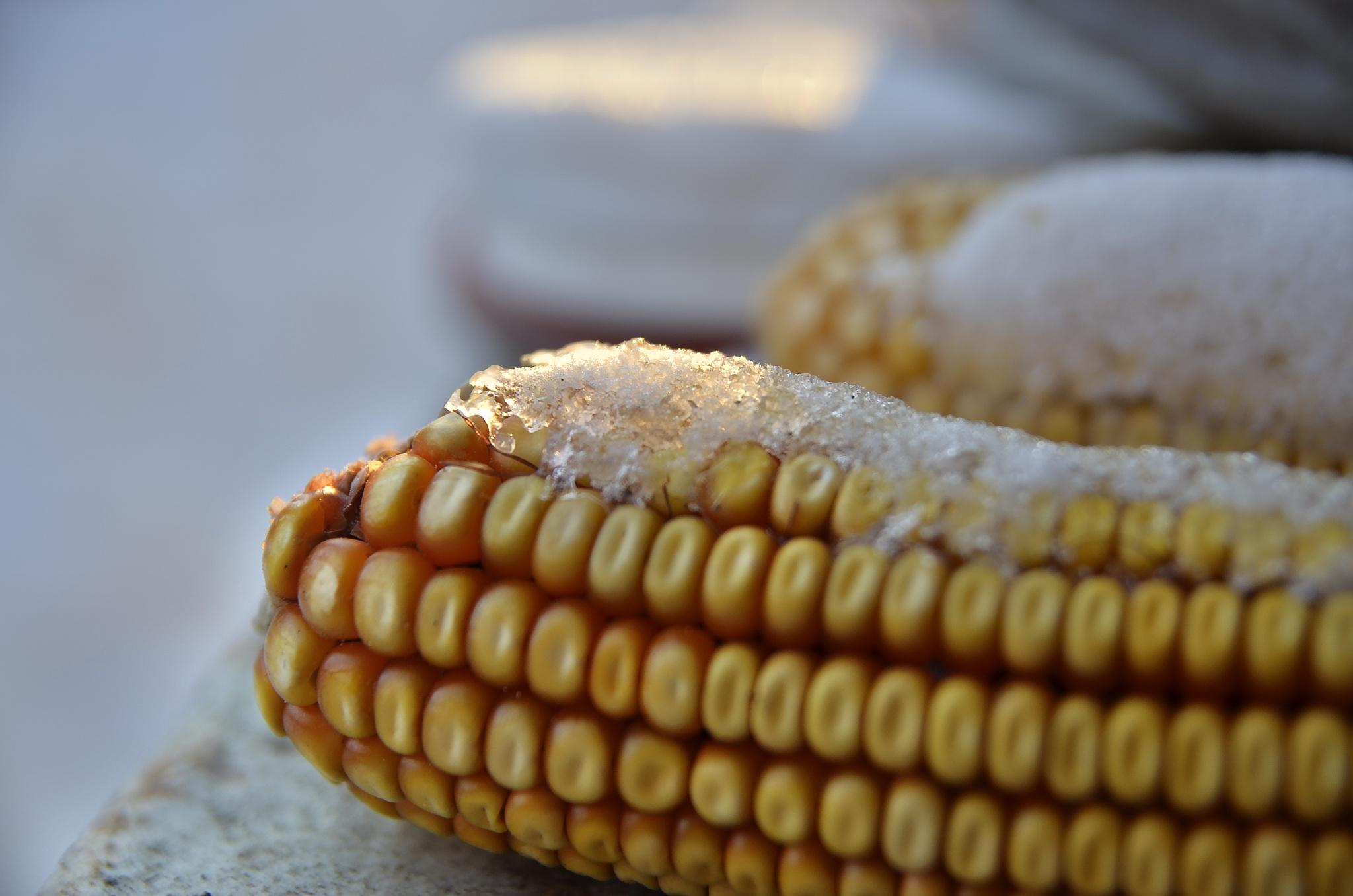 snow corn by edyctin