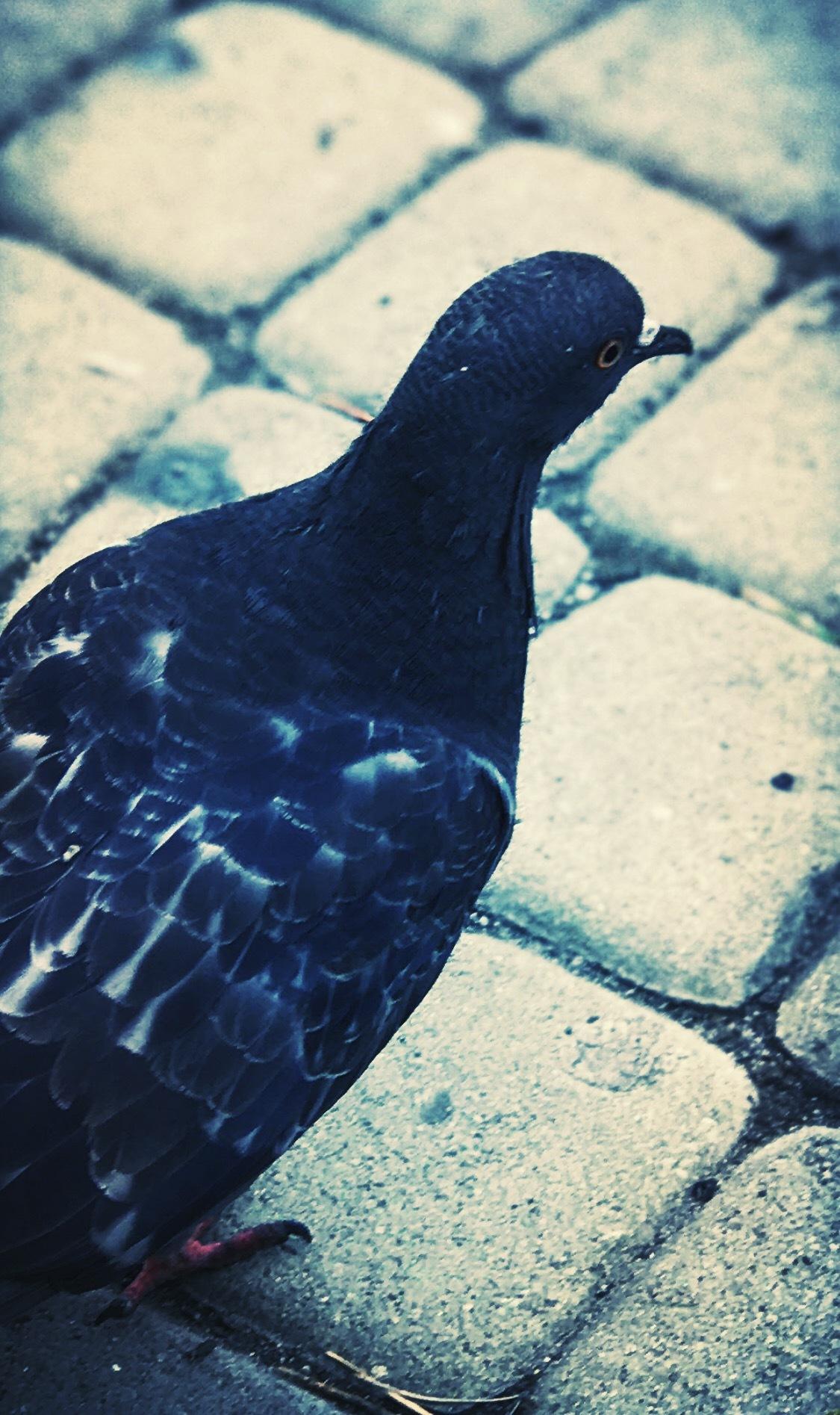 Pigeon by iensueno
