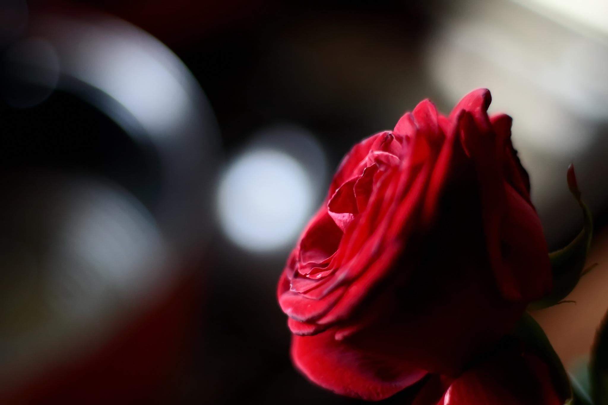 Rose by Radu Ioan