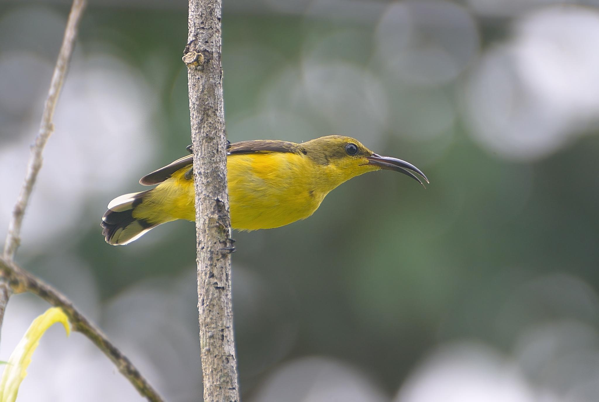Sunbird by djerrybansaleng