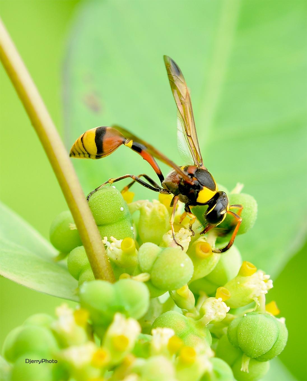 Yellow Bee by djerrybansaleng