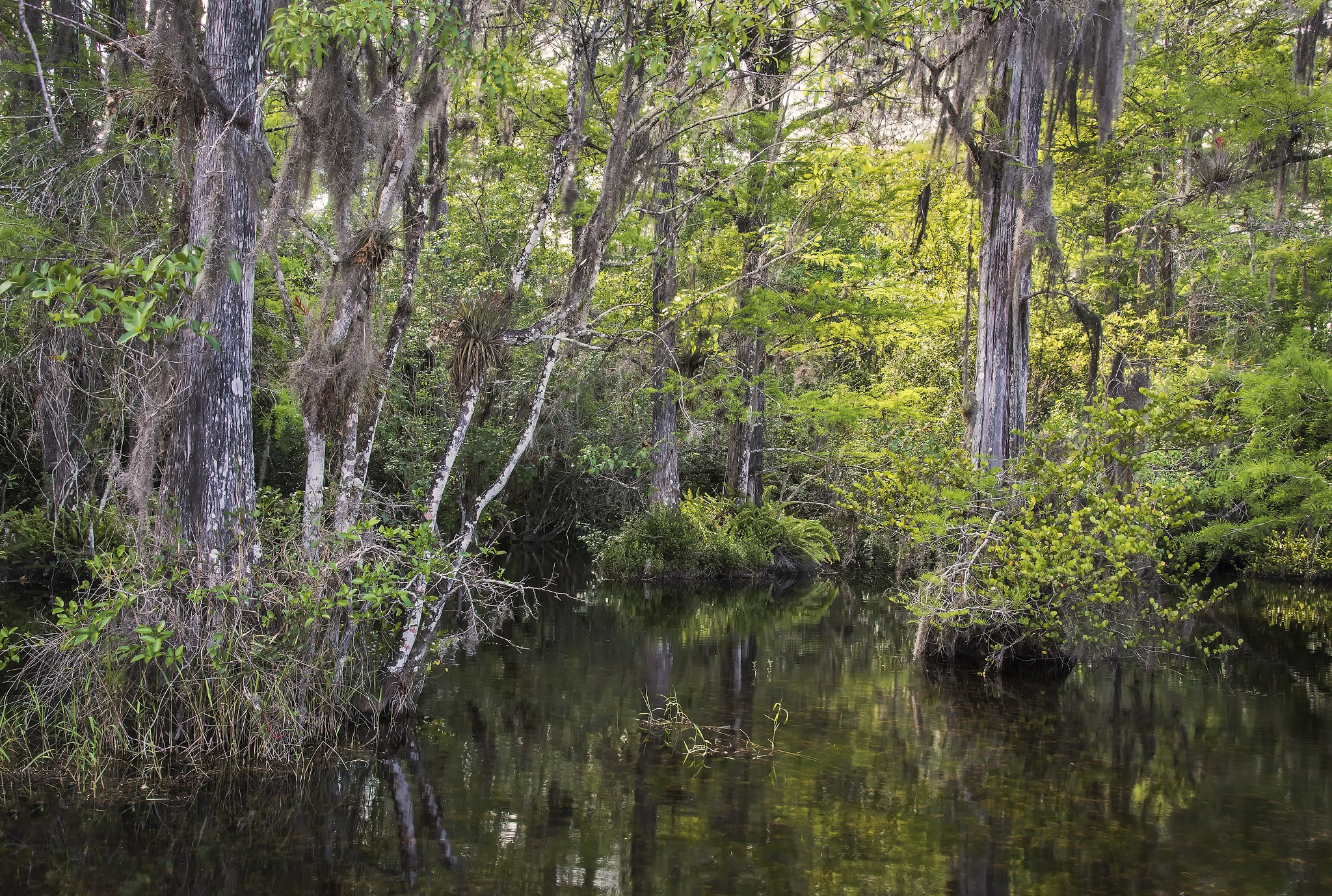 Big Cypress Swamp, The Everglades, Florida by Doctoral