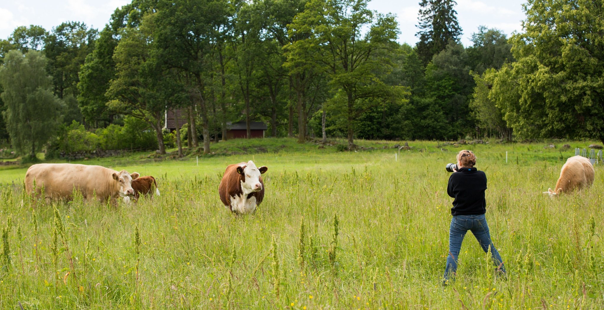 Shooting cows like a pro by Linda Augustsson