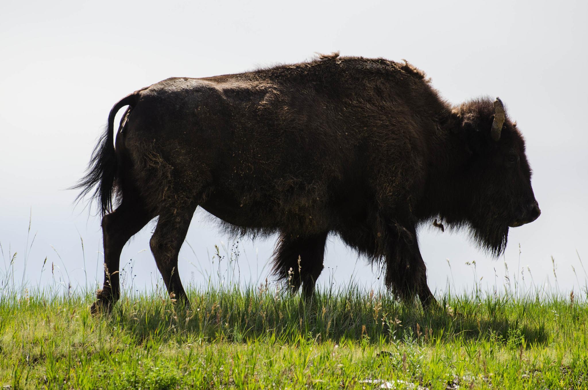 Buffalo Walk by wxwatcher