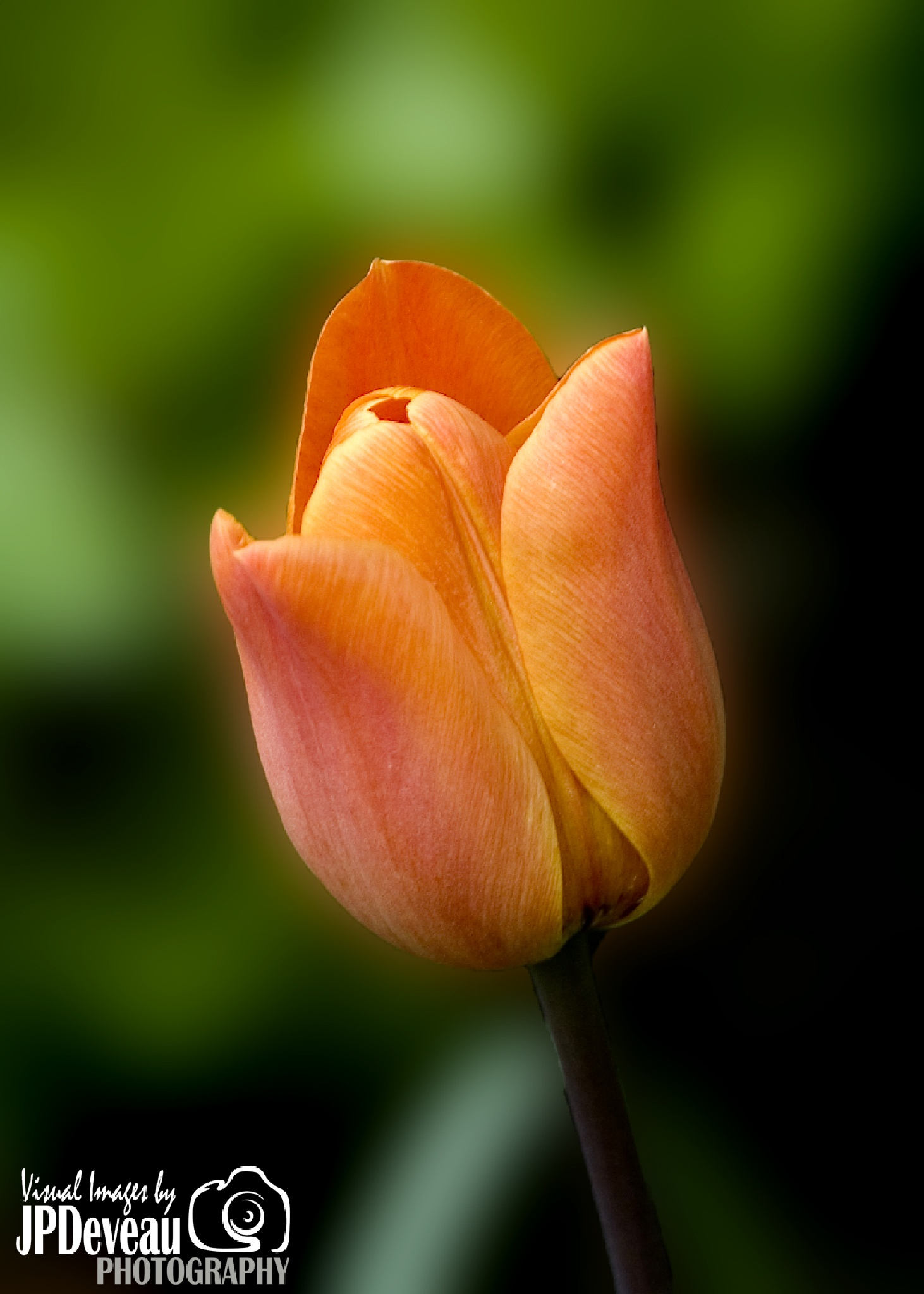 Tulip In Spring by Paul Deveau