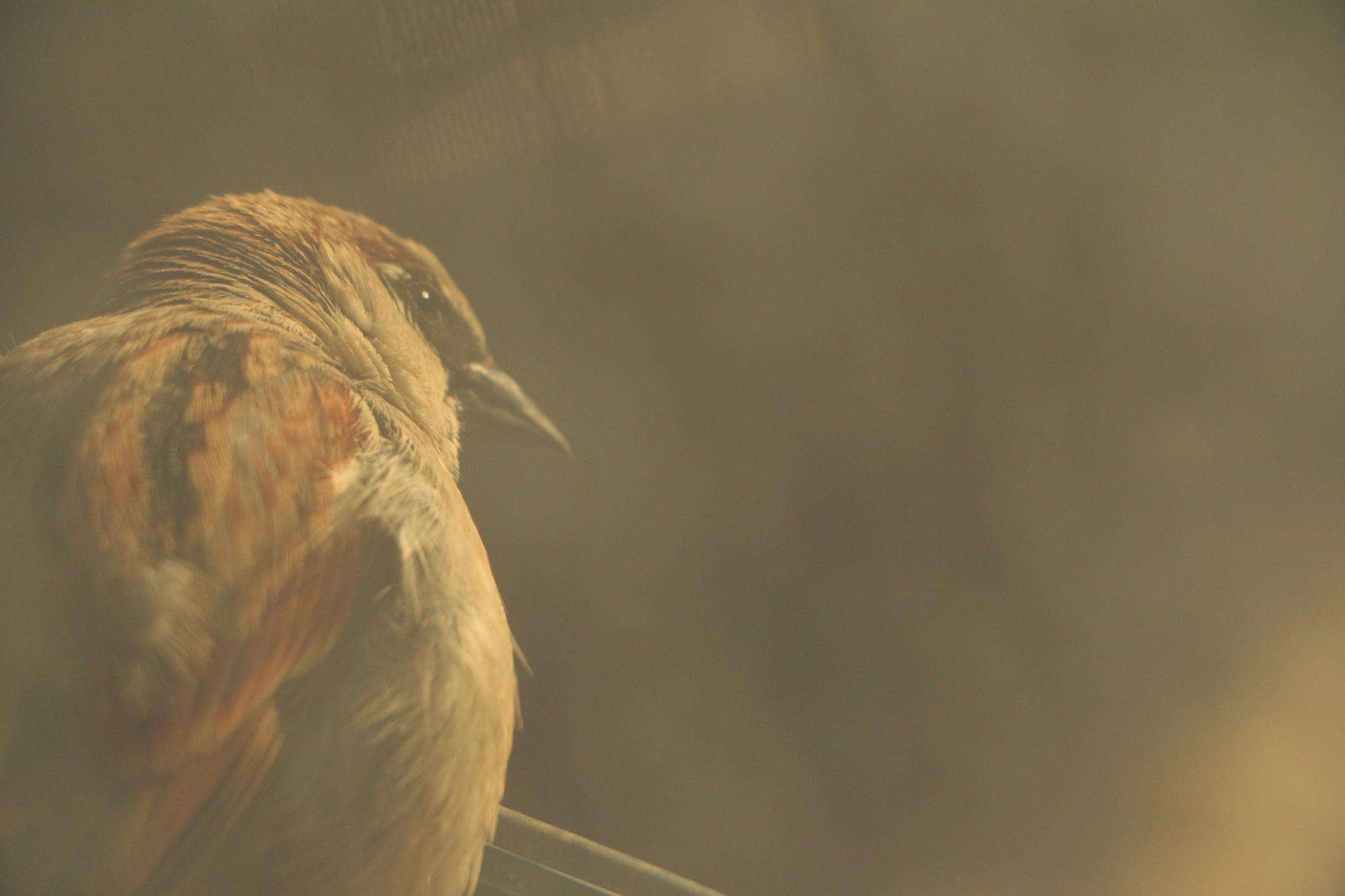 """"""" House Sparrow """" by Somow Aser"""