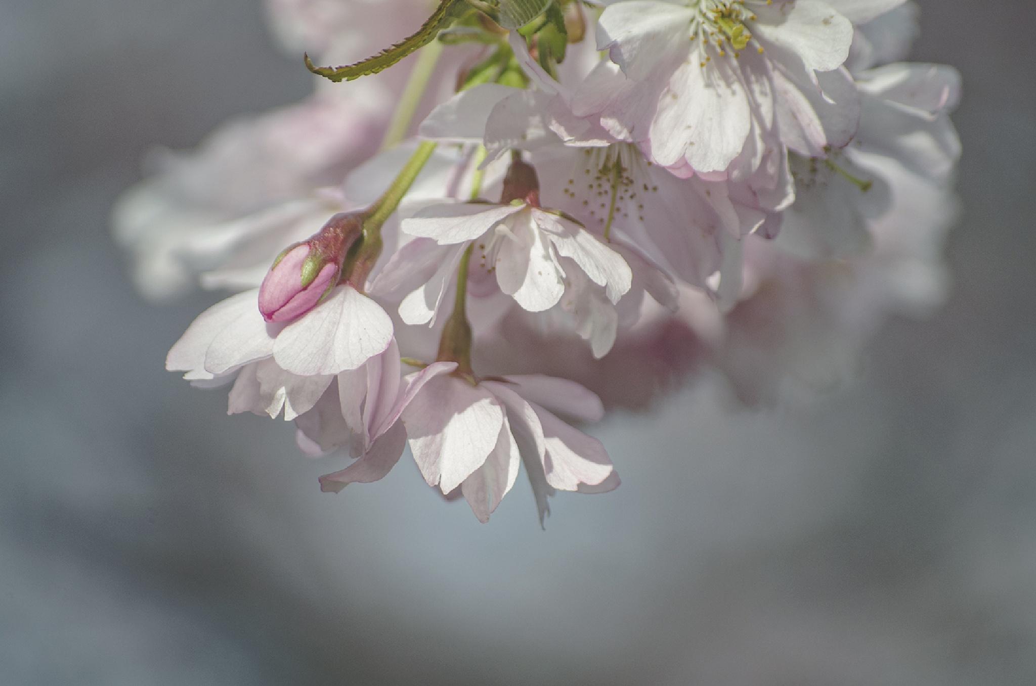 Pink Flowers in the spring by Lotta Ek